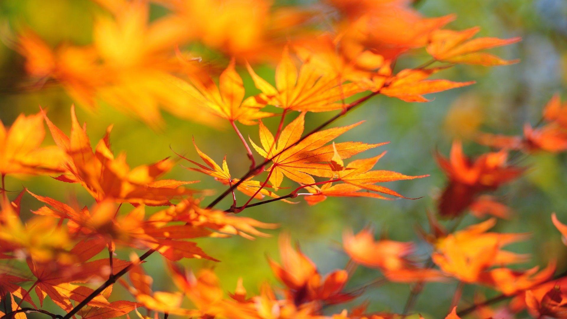 92986 Заставки и Обои Осень на телефон. Скачать Осень, Листья, Макро, Ветка, Клён картинки бесплатно