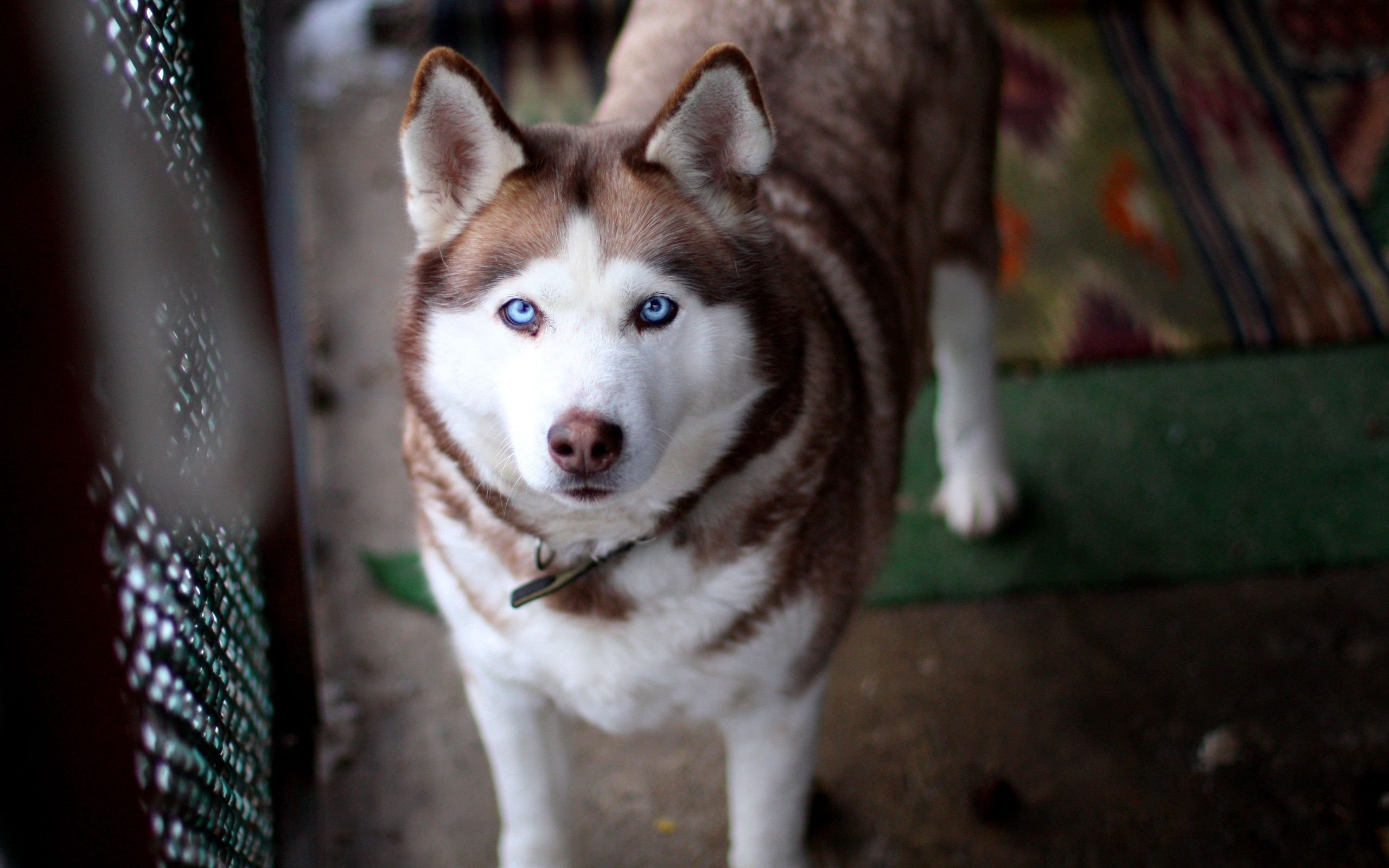 116594 Screensavers and Wallpapers Husky for phone. Download Animals, Dog, Muzzle, Sight, Opinion, Husky, Haska pictures for free