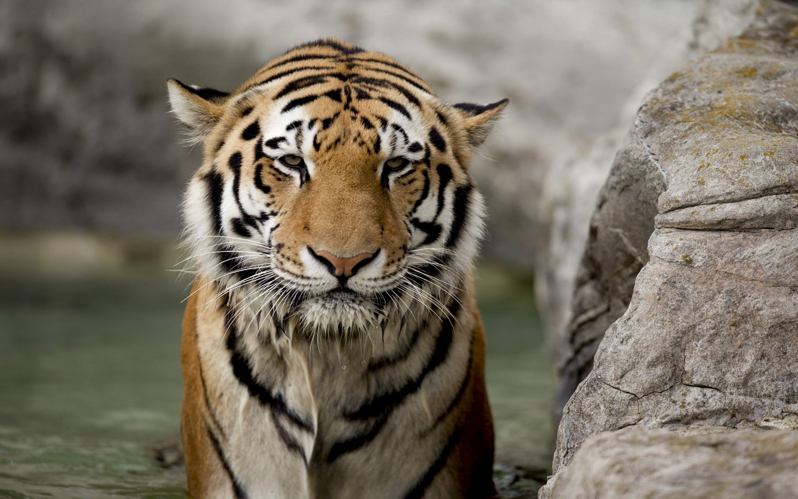 116759 download wallpaper Animals, Rock, Muzzle, Big Cat, Stone, Tiger screensavers and pictures for free