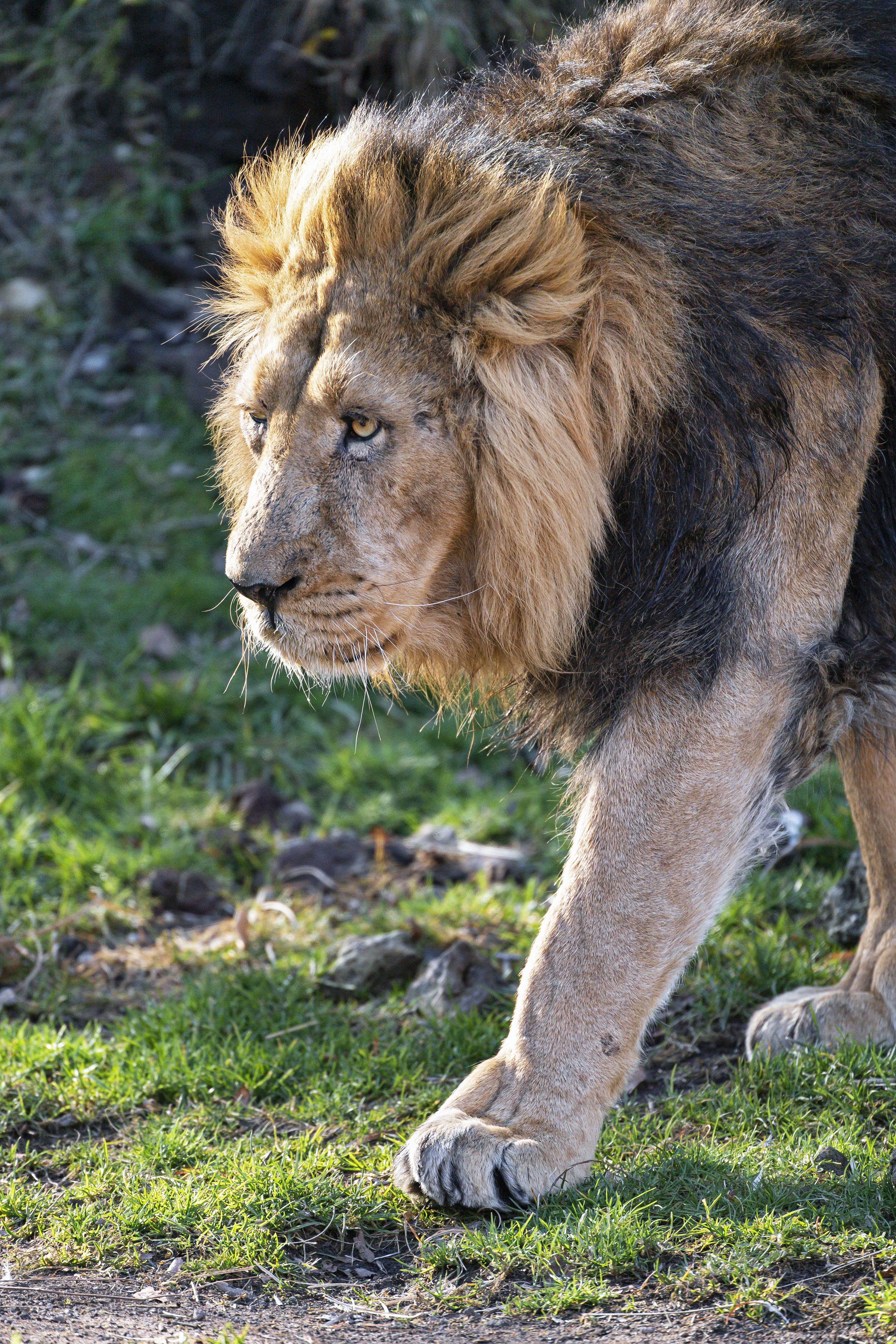152680 download wallpaper Animals, Lion, Predator, Big Cat, Mane, Sight, Opinion screensavers and pictures for free