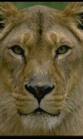 3944 download wallpaper Animals, Lions screensavers and pictures for free