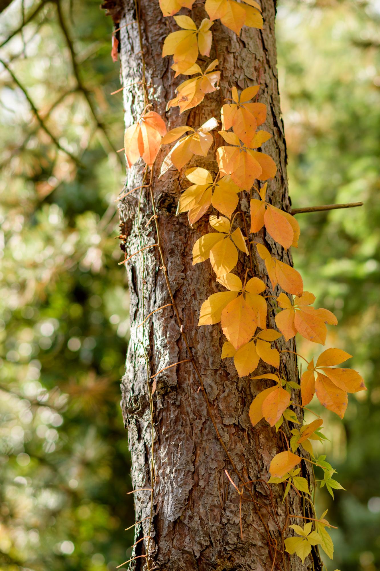 93867 обои 2160x3840 на телефон бесплатно, скачать картинки Природа, Осень, Растение, Дерево, Желтый, Плющ 2160x3840 на мобильный
