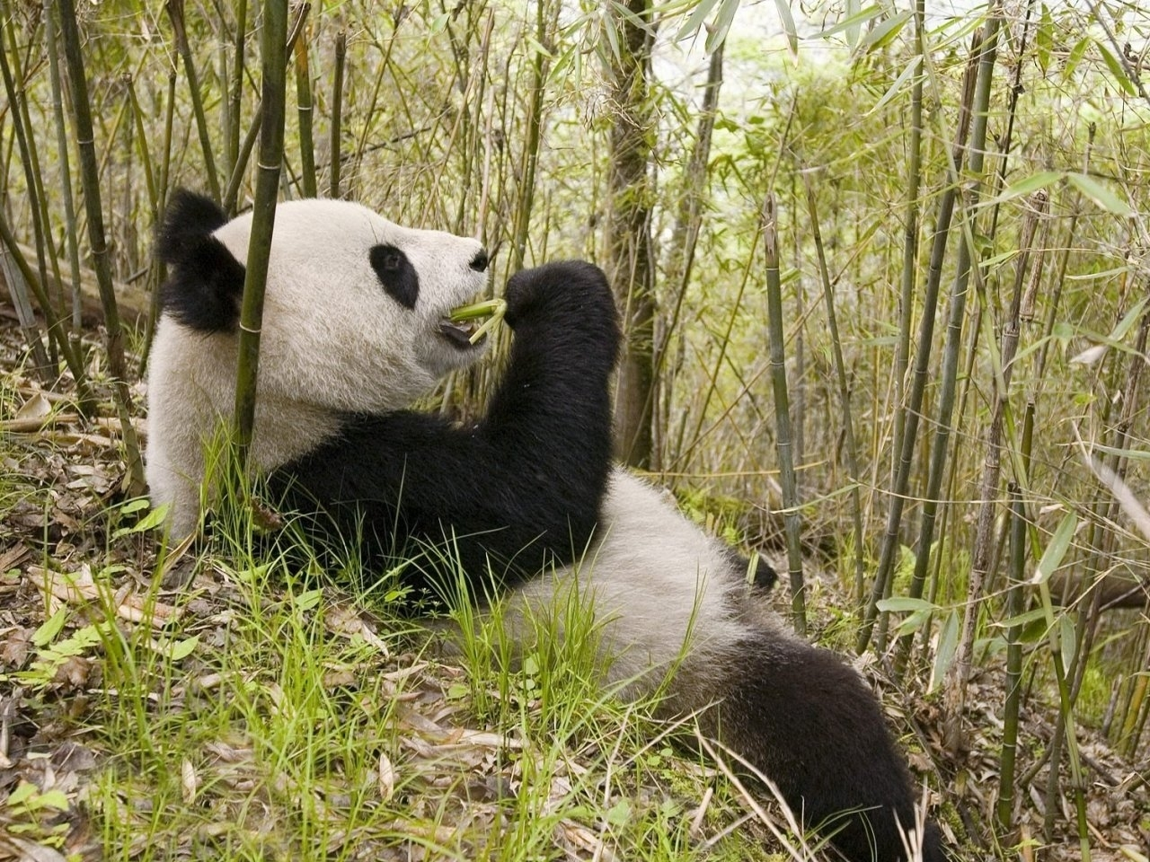 42024 download wallpaper Animals, Pandas screensavers and pictures for free
