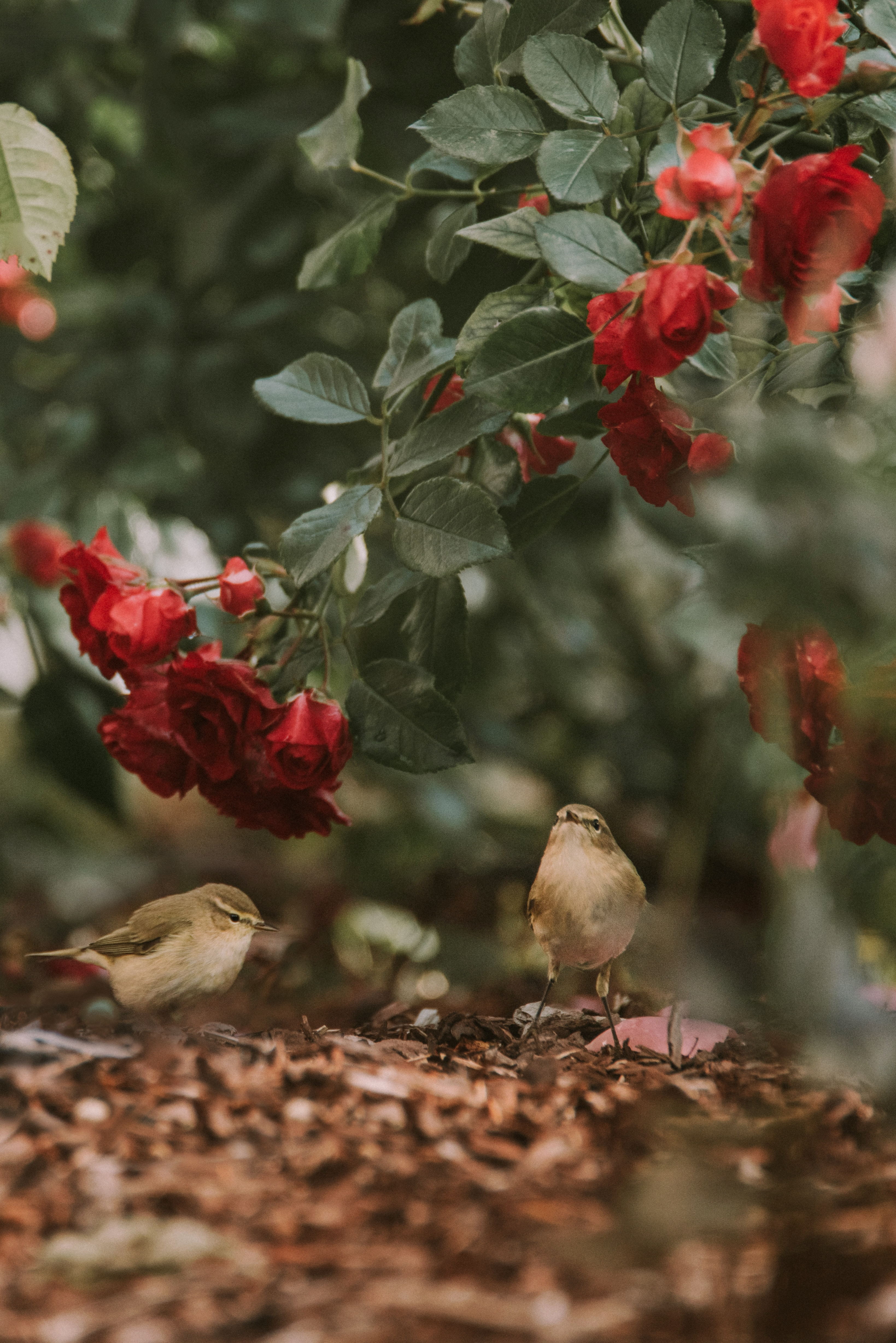 74523 download wallpaper Animals, Flowers, Roses, Birds screensavers and pictures for free