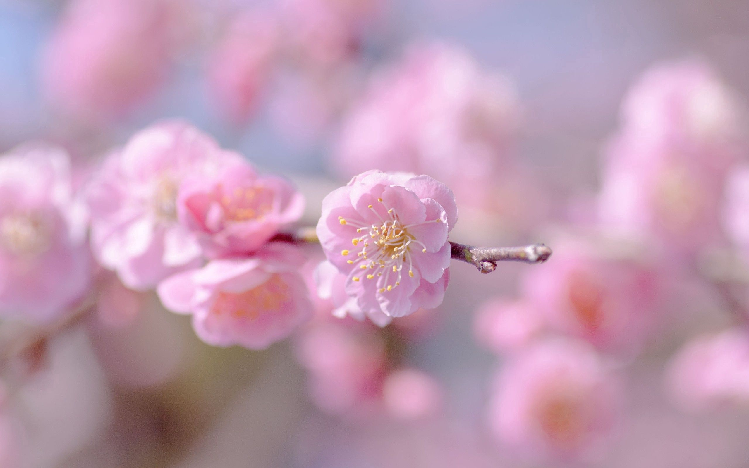 95989 Screensavers and Wallpapers Petals for phone. Download Pink, Flower, Plant, Macro, Petals, Spring pictures for free