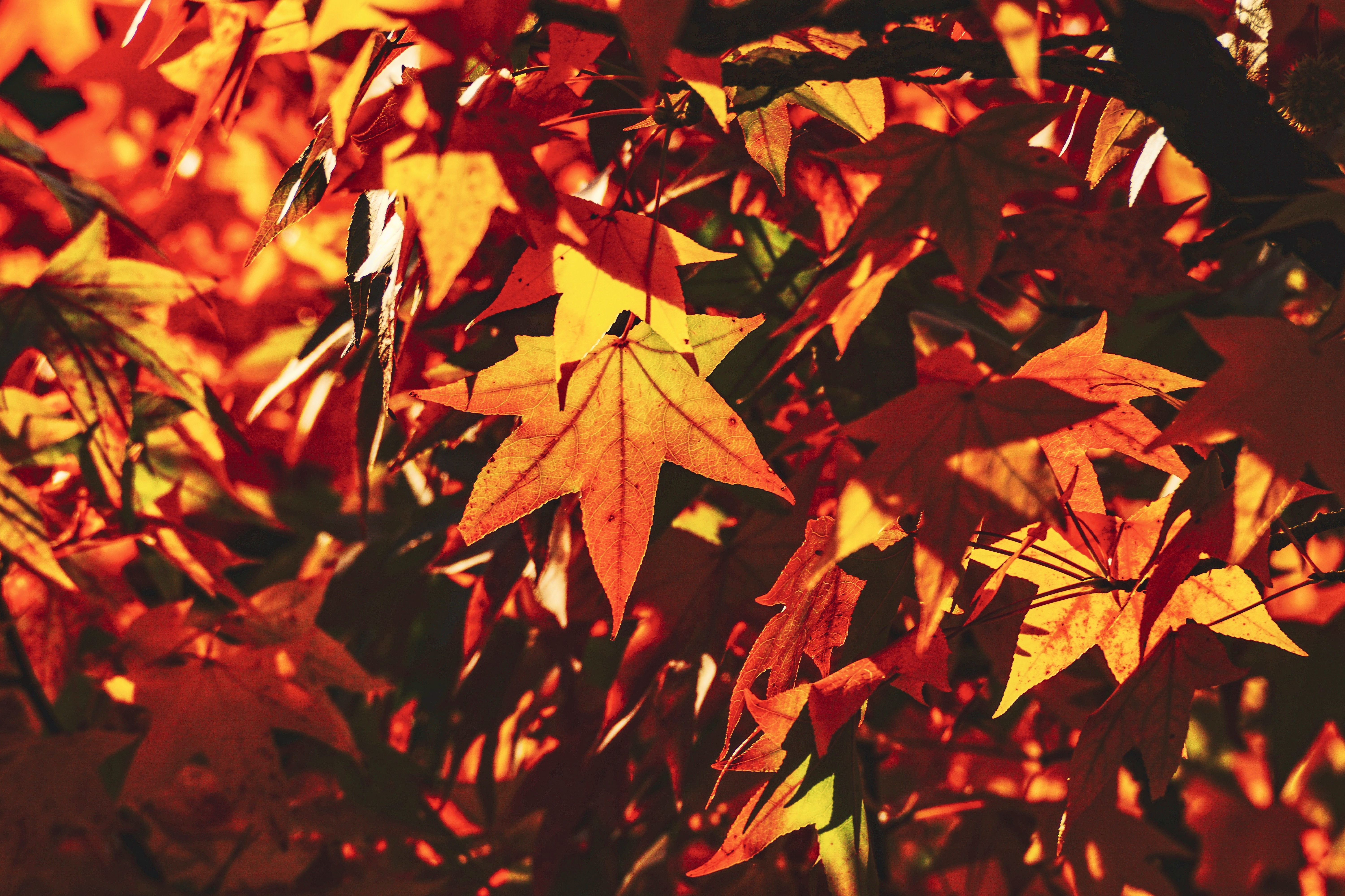 155642 download wallpaper Nature, Autumn, Leaves, Maple, Branch, Sunlight, Shadow screensavers and pictures for free