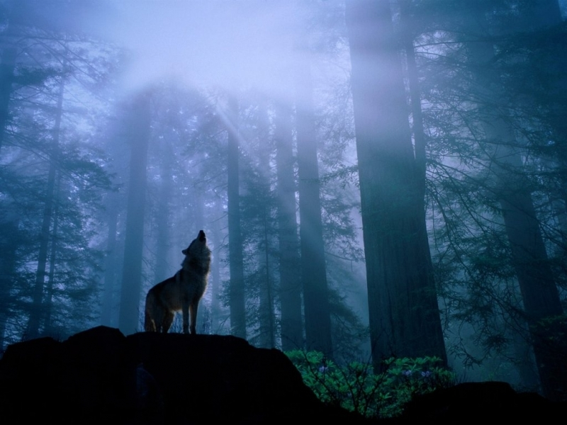 42207 download wallpaper Landscape, Wolfs screensavers and pictures for free