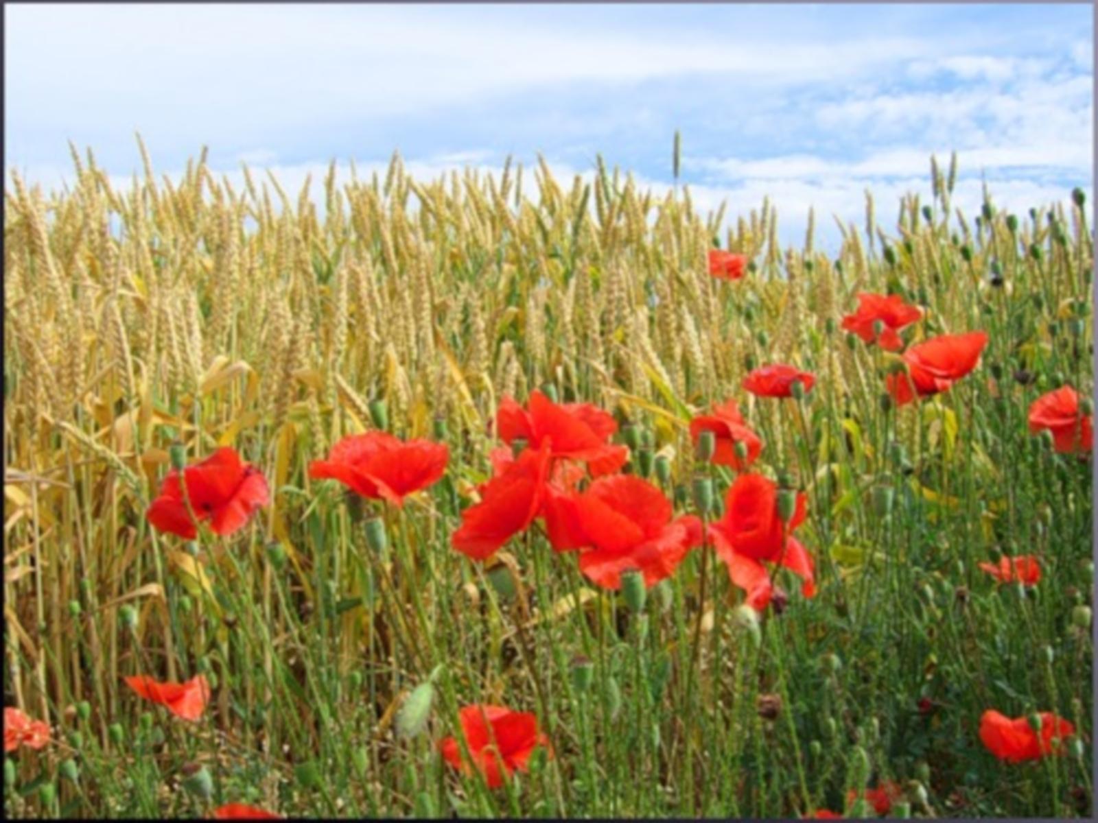 7275 скачать обои Растения, Пейзаж, Цветы, Поля, Маки, Пшеница - заставки и картинки бесплатно