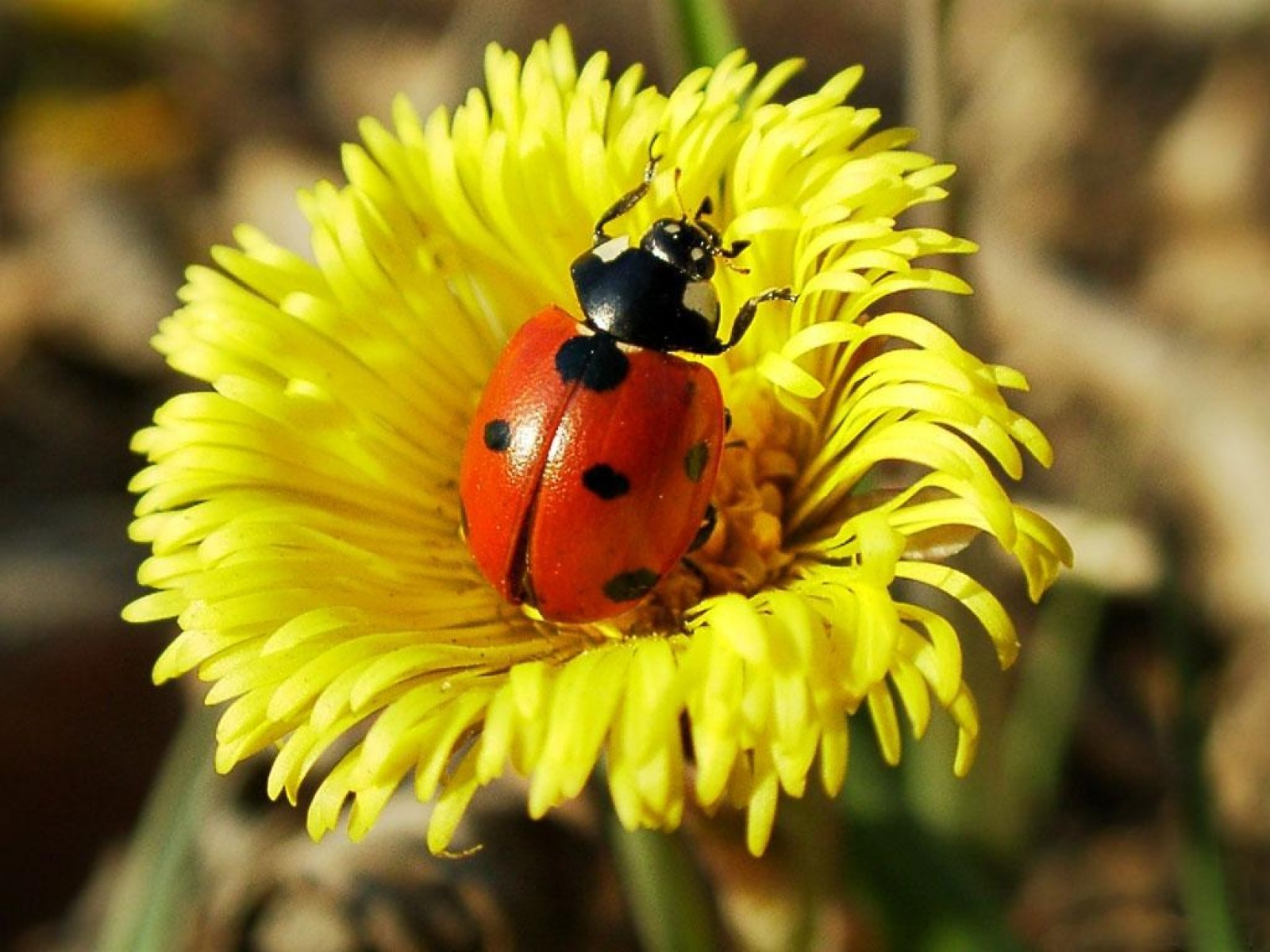 18224 download wallpaper Insects, Ladybugs screensavers and pictures for free