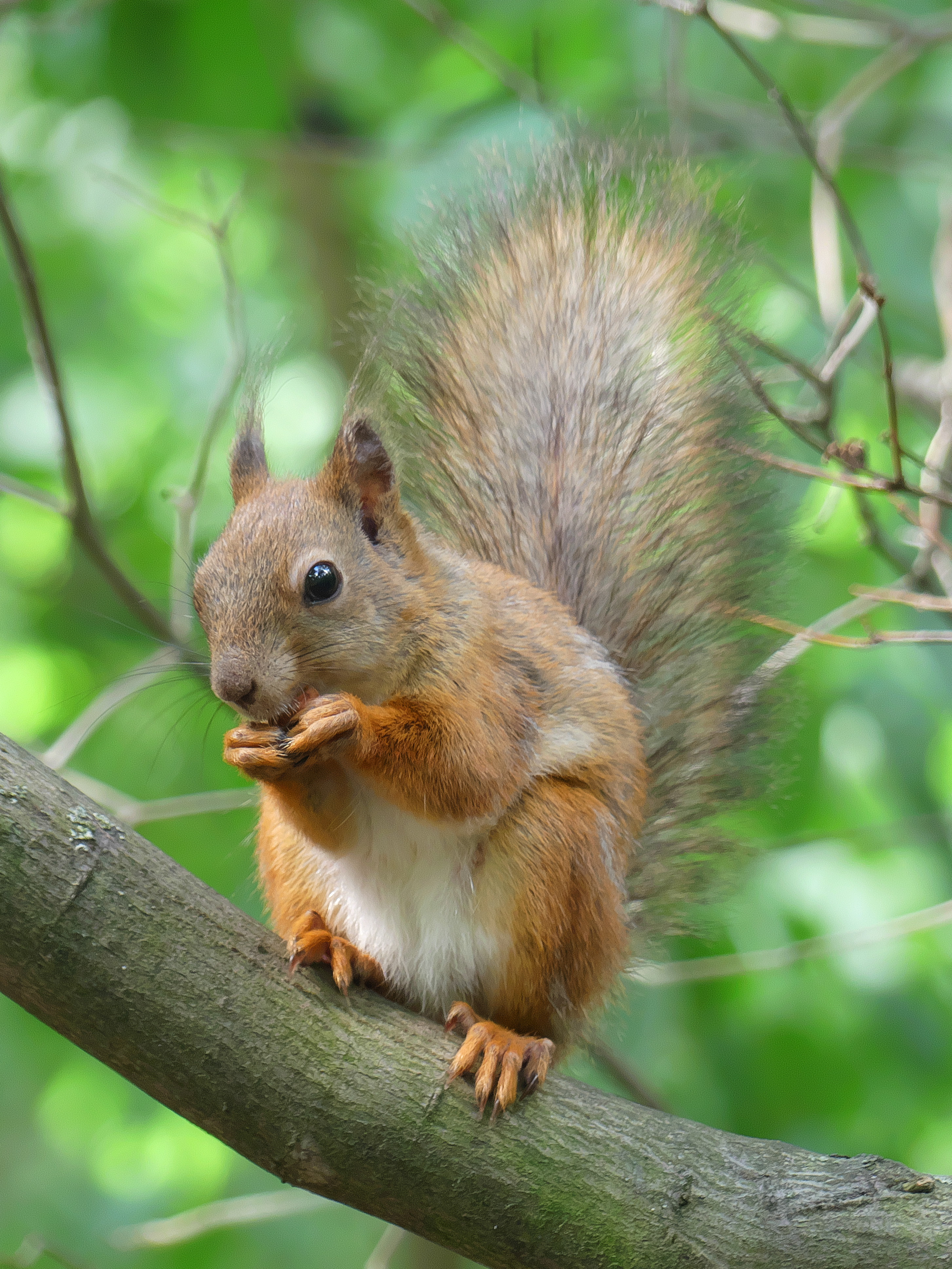 81292 download wallpaper Animals, Squirrel, Rodent, Animal, Wood, Tree, Fluffy screensavers and pictures for free