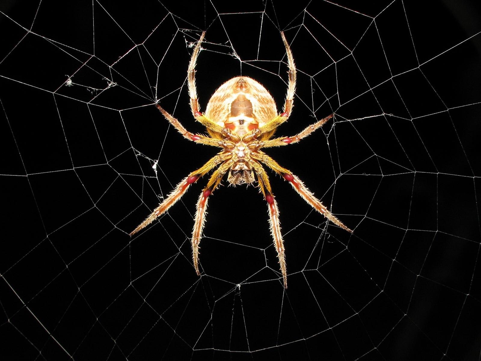 3172 descargar fondo de pantalla Insectos, Web, Spiders: protectores de pantalla e imágenes gratis