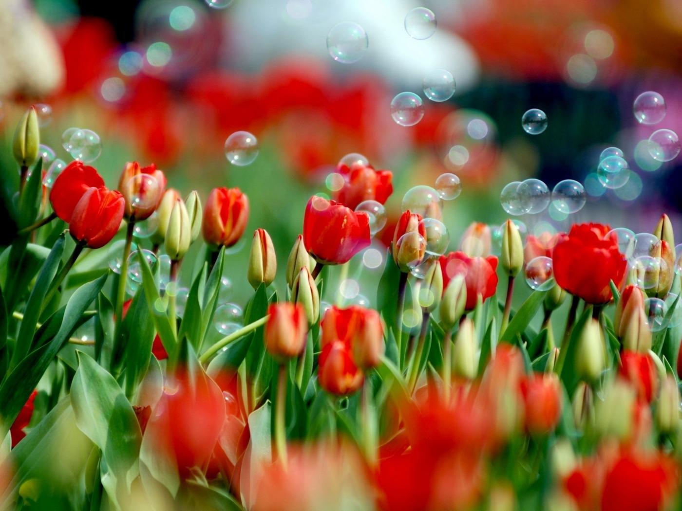 32159 скачать обои Растения, Цветы, Тюльпаны - заставки и картинки бесплатно