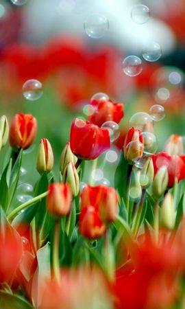 32159 télécharger le fond d'écran Plantes, Fleurs, Tulipes - économiseurs d'écran et images gratuitement