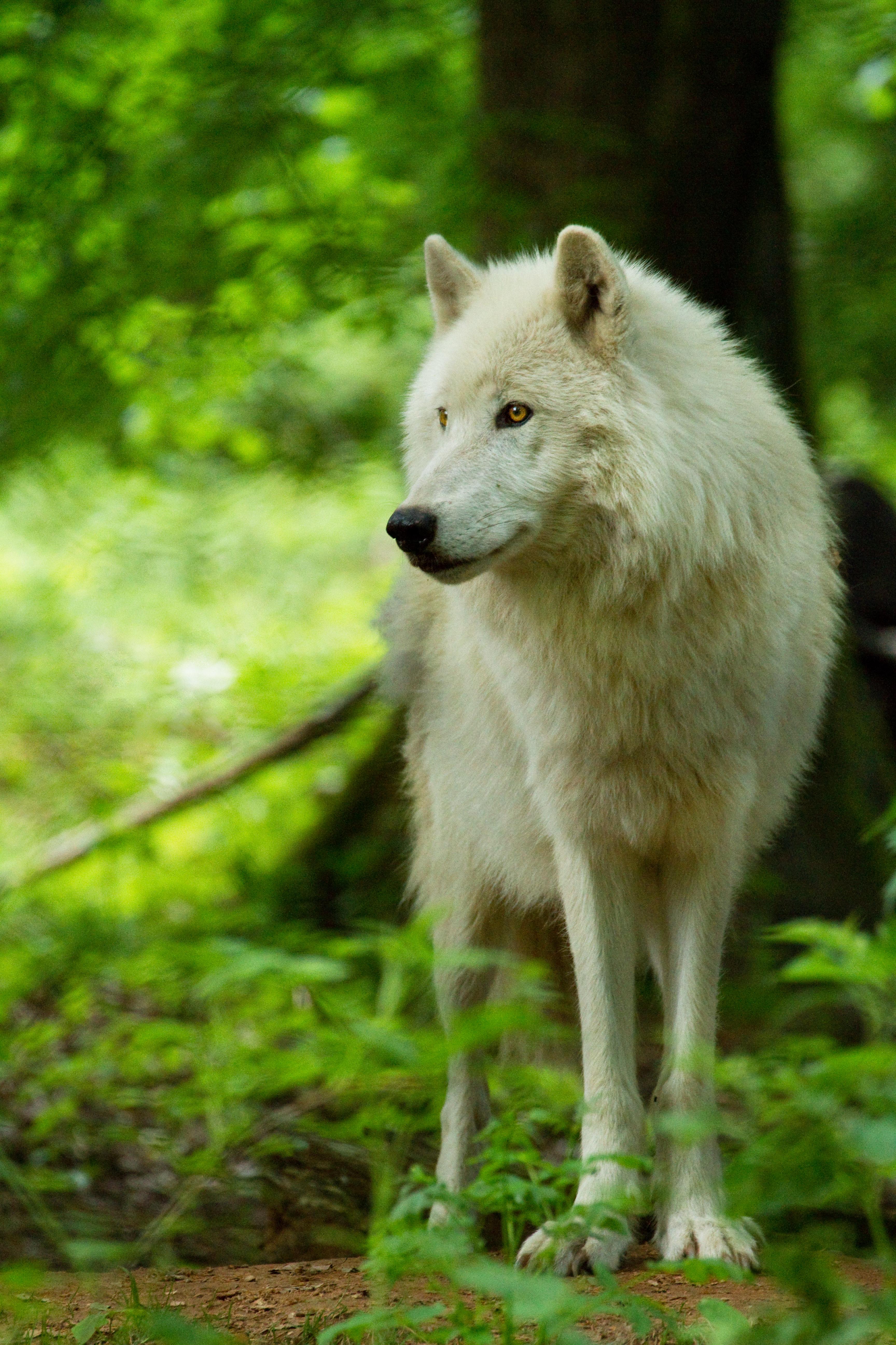 145592 скачать обои Животные, Волк, Белый, Хищник, Взгляд, Дикая Природа - заставки и картинки бесплатно