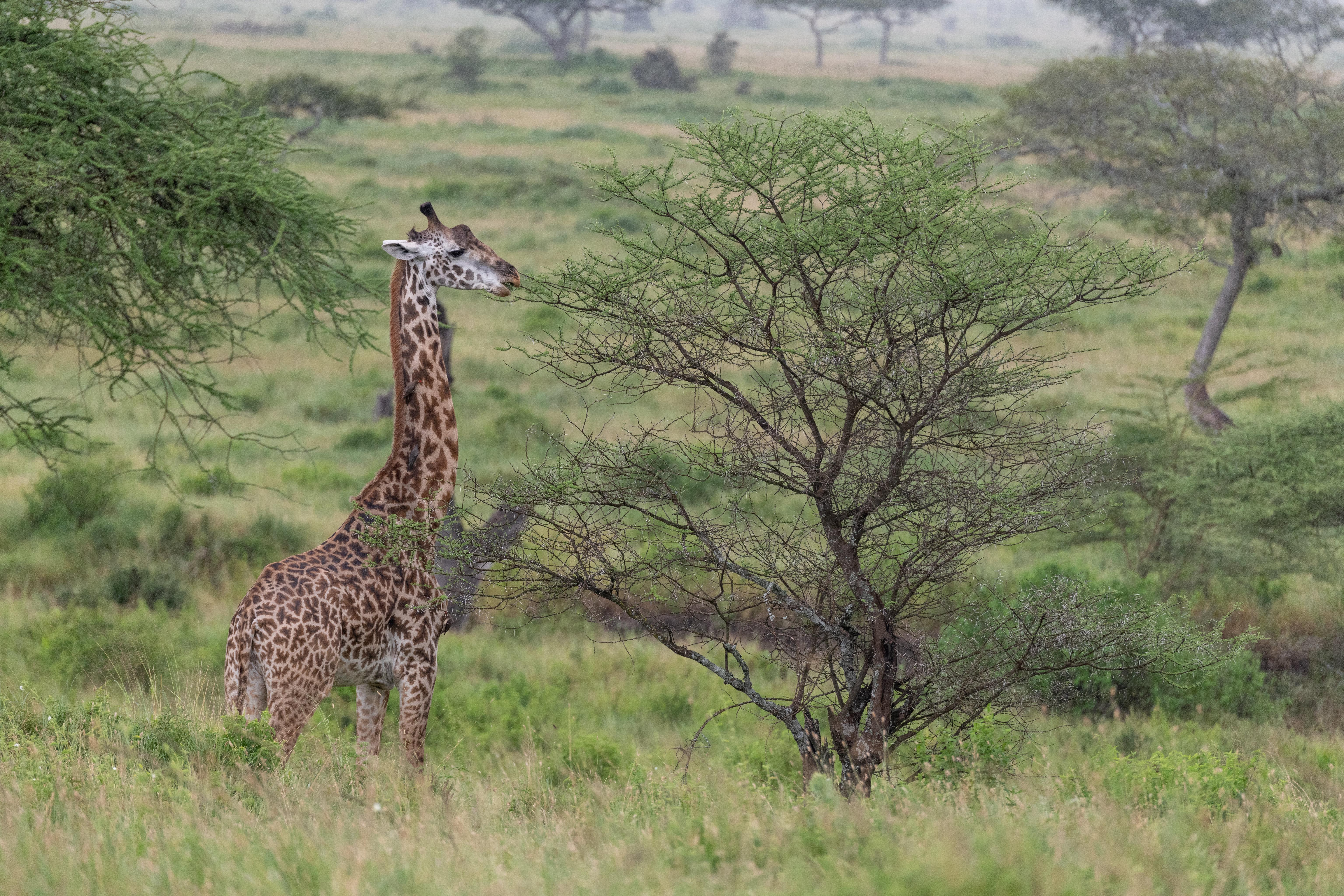 Скачать картинку Животное, Кусты, Жираф, Животные, Саванна в телефон бесплатно.