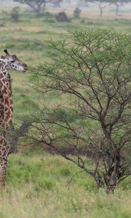 115242 скачать обои Животные, Жираф, Животное, Саванна, Кусты - заставки и картинки бесплатно