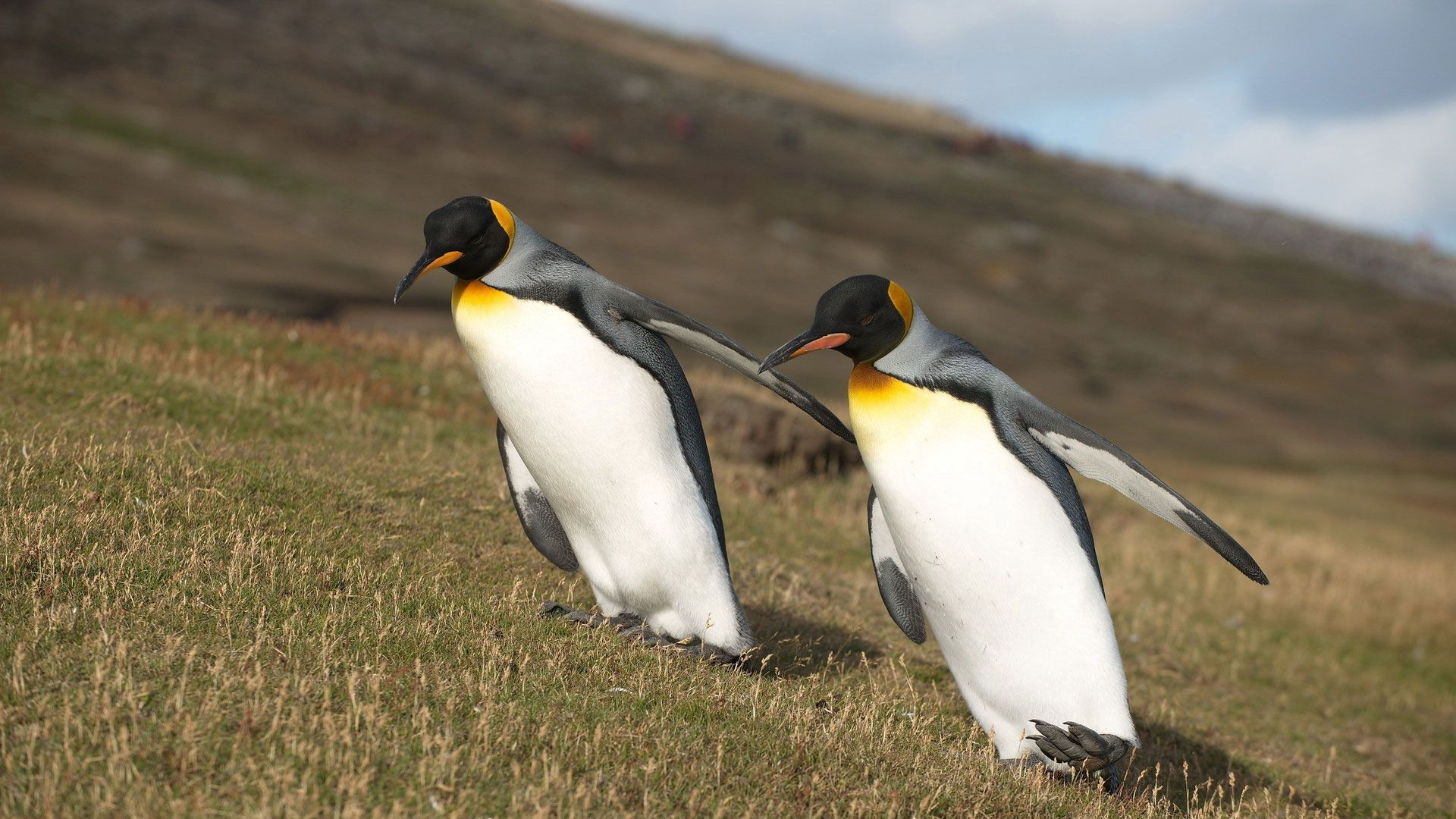 131081 download wallpaper Animals, Pinguins, Grass, Mountain, Wings, Slope screensavers and pictures for free