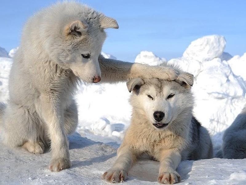 42416 Hintergrundbild herunterladen Tiere, Wölfe, Winterreifen - Bildschirmschoner und Bilder kostenlos