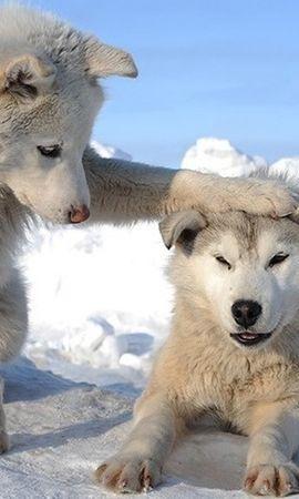 42416 baixar papel de parede Animais, Lobos, Inverno - protetores de tela e imagens gratuitamente