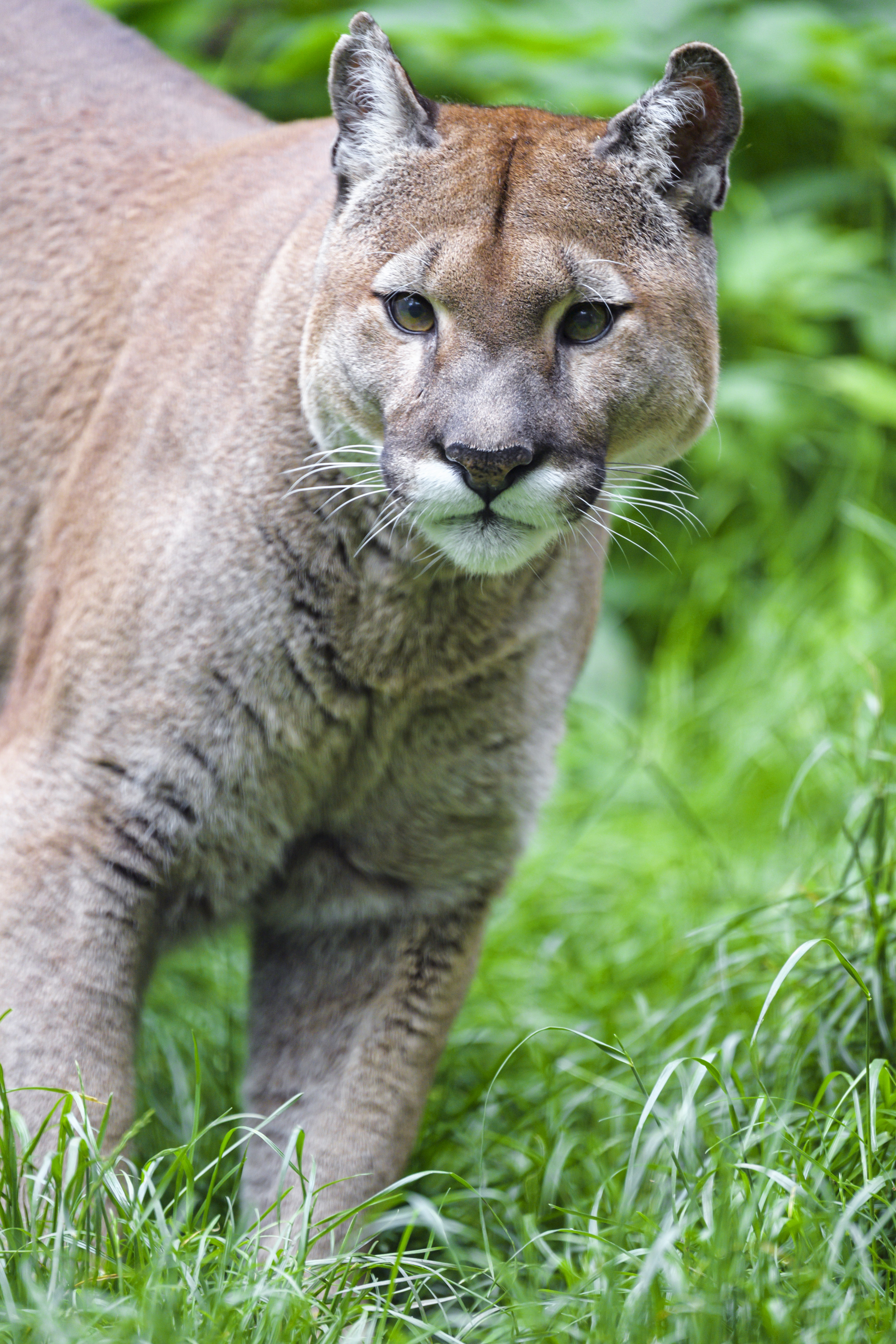 146586 download wallpaper Animals, Puma, Predator, Big Cat, Grass screensavers and pictures for free