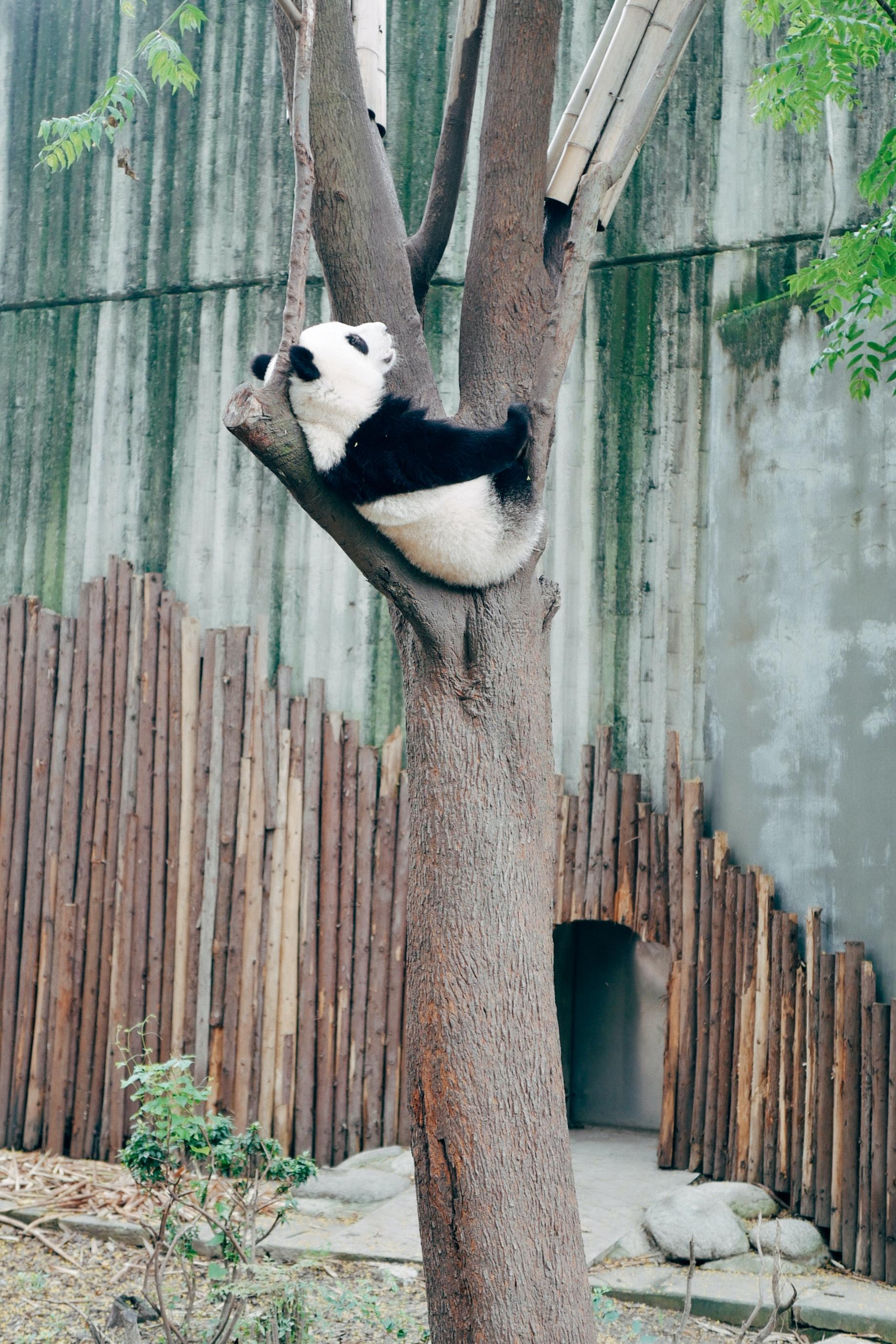 109123 télécharger le fond d'écran Bois, Animaux, Arbre, Animal, Panda - économiseurs d'écran et images gratuitement