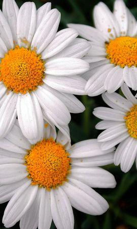 45818 télécharger le fond d'écran Plantes, Fleurs, Camomille - économiseurs d'écran et images gratuitement