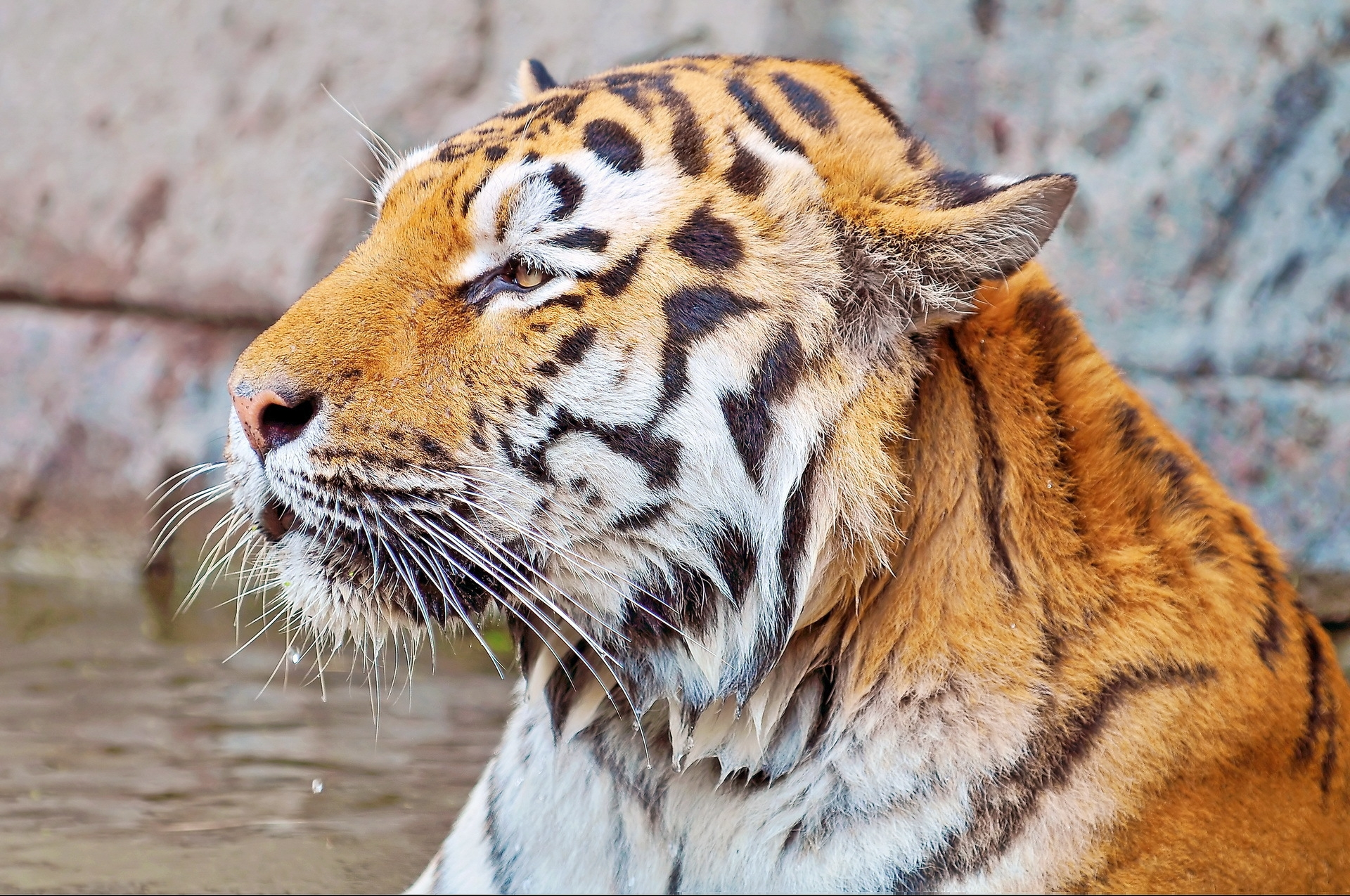 98651 download wallpaper Animals, Tiger, Muzzle, Striped, Predator screensavers and pictures for free