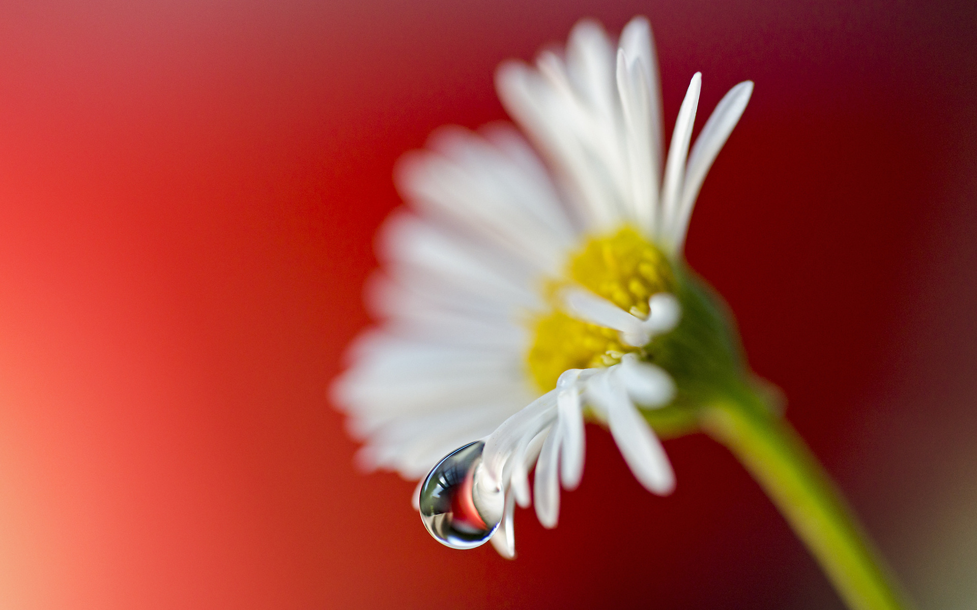 23520 download wallpaper Plants, Flowers, Camomile, Drops screensavers and pictures for free