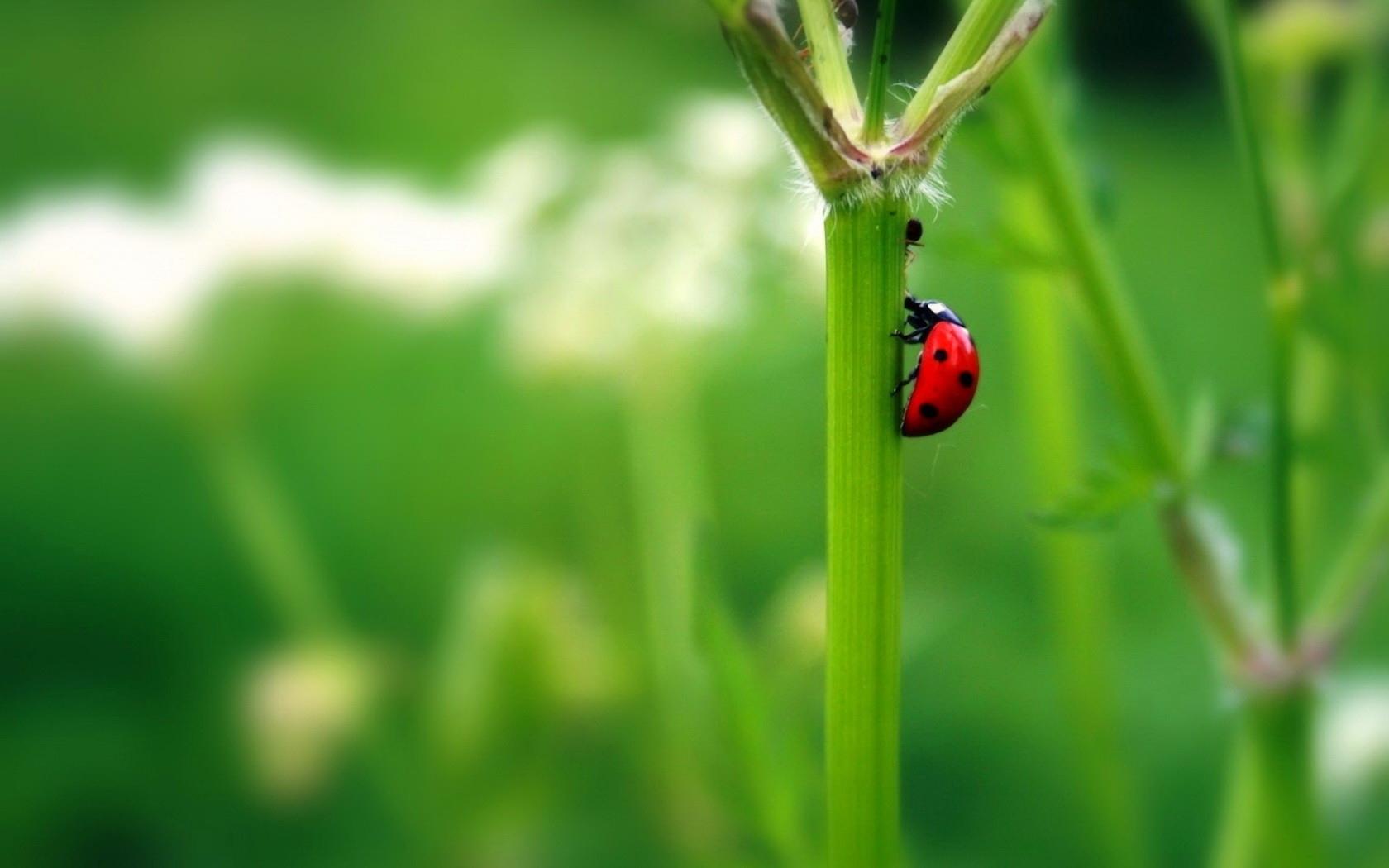 48439 descargar fondo de pantalla Insectos, Mariquitas: protectores de pantalla e imágenes gratis