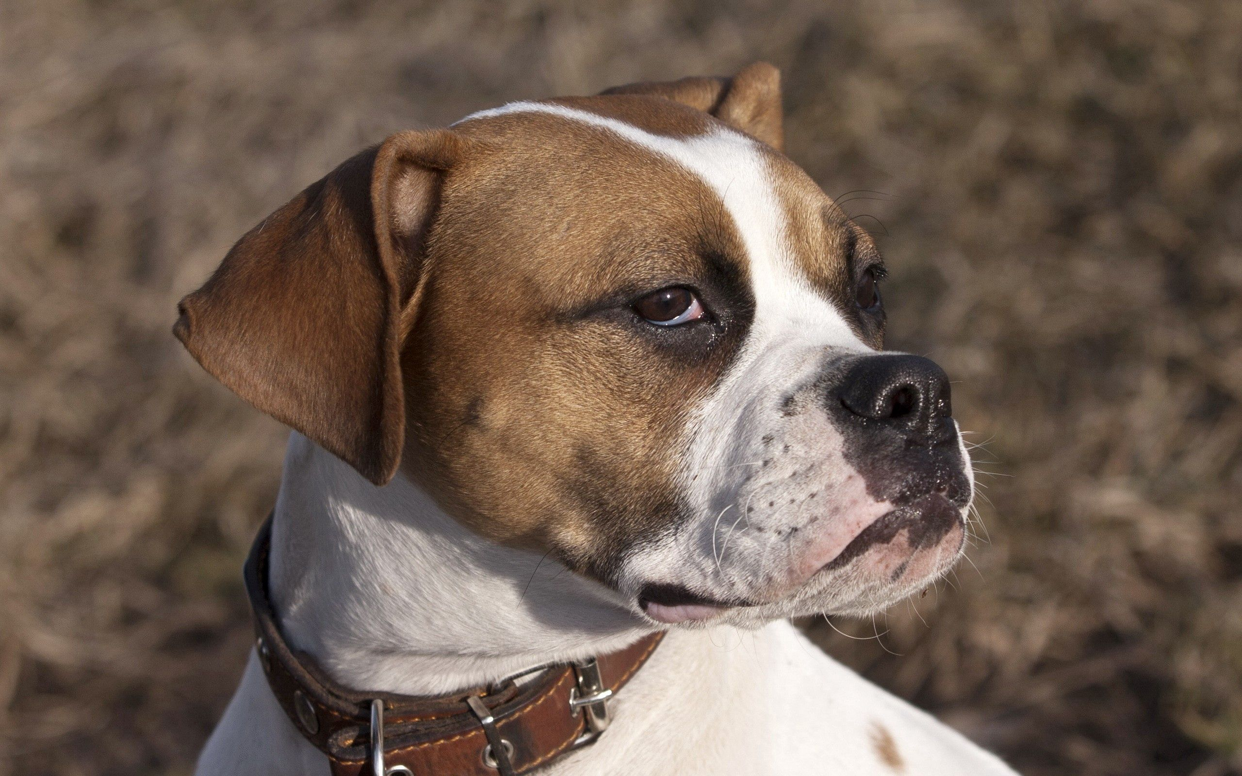 148566 download wallpaper Animals, Dog, Muzzle, Collar, Sight, Opinion screensavers and pictures for free