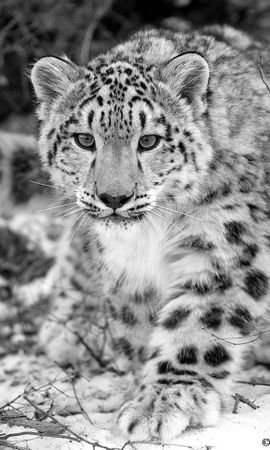 10853 download wallpaper Animals, Snow Leopard screensavers and pictures for free