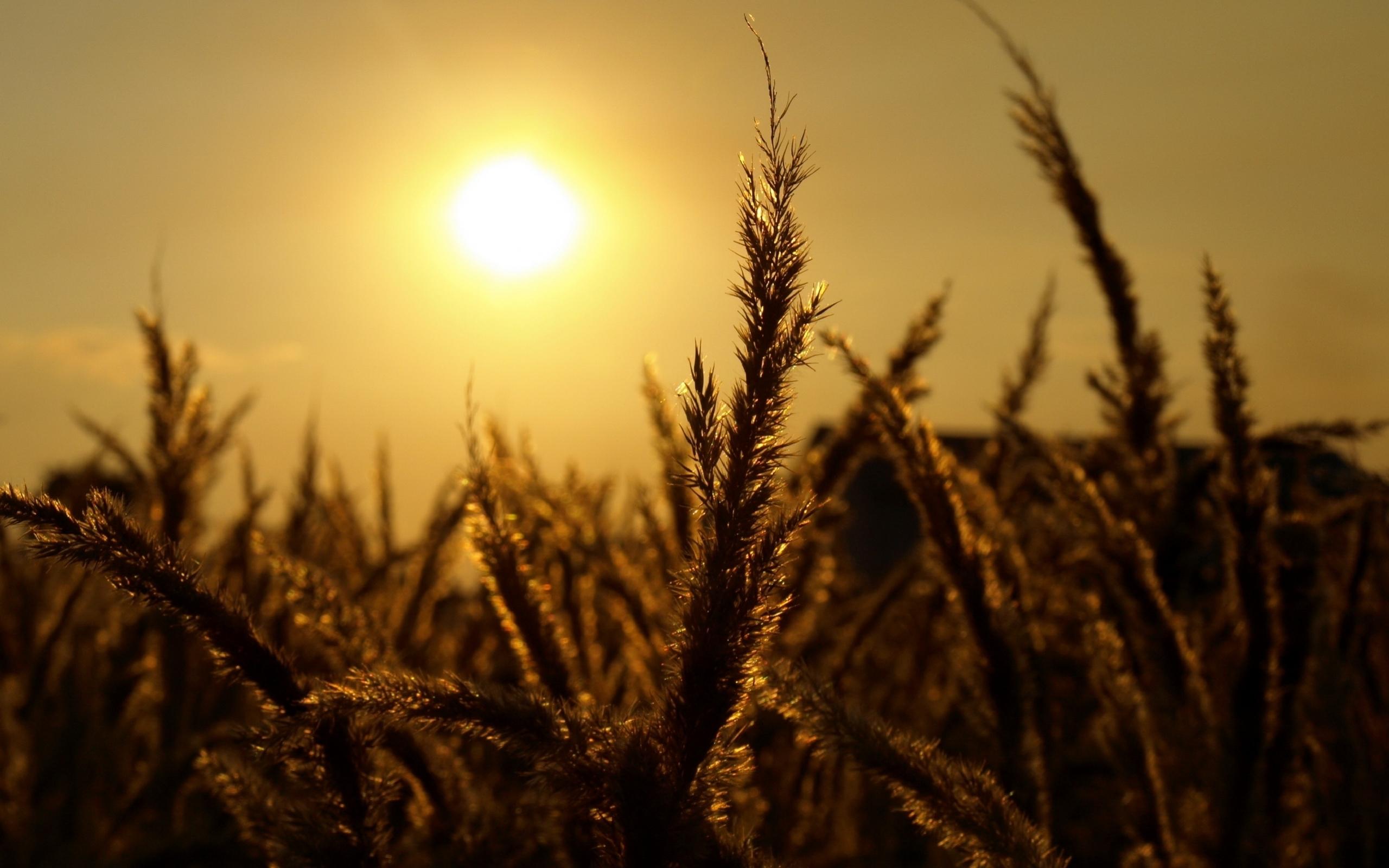 49499 скачать обои Пейзаж, Природа, Солнце, Пшеница - заставки и картинки бесплатно