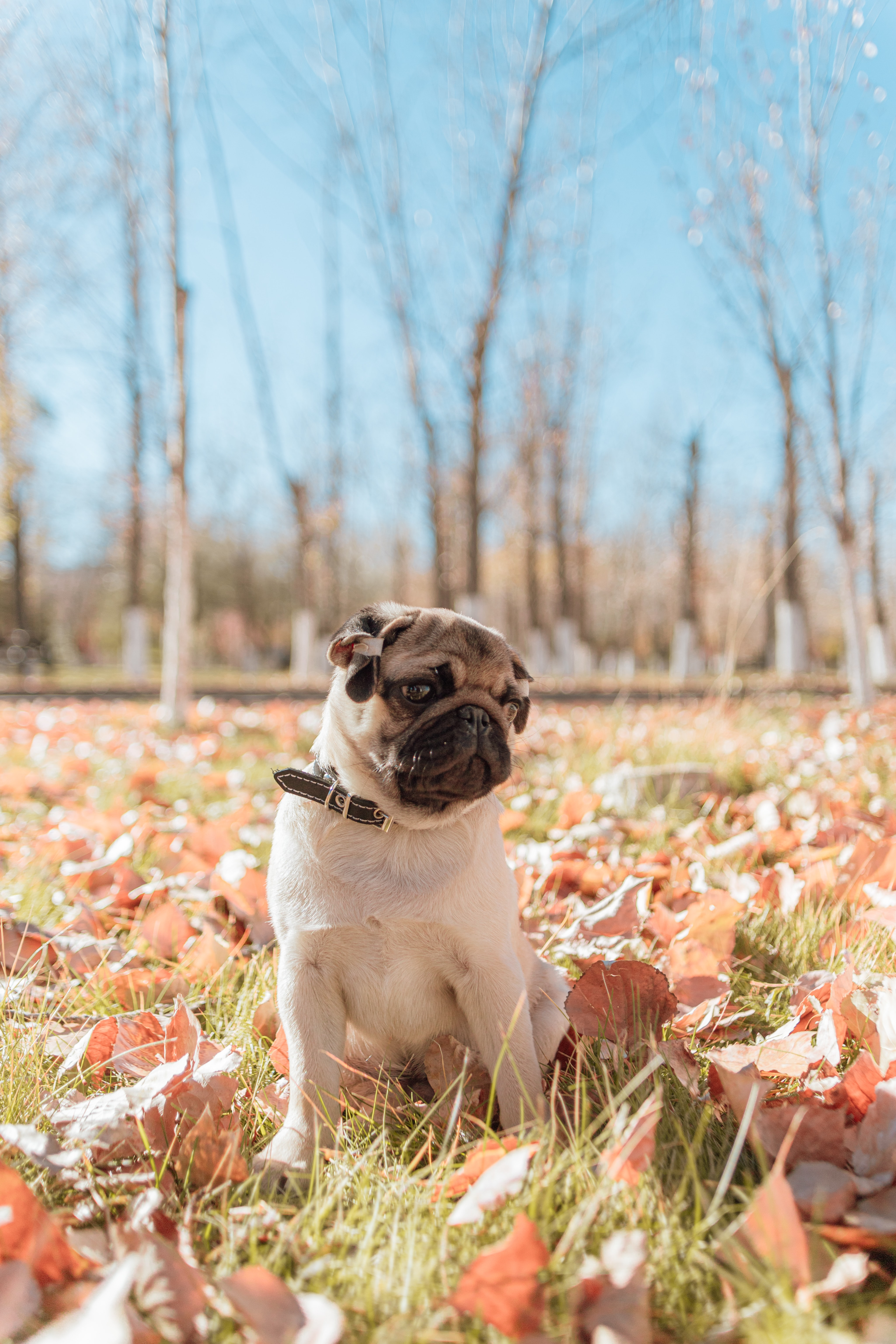 59657 download wallpaper Animals, Pug, Dog, Pet, Animal screensavers and pictures for free