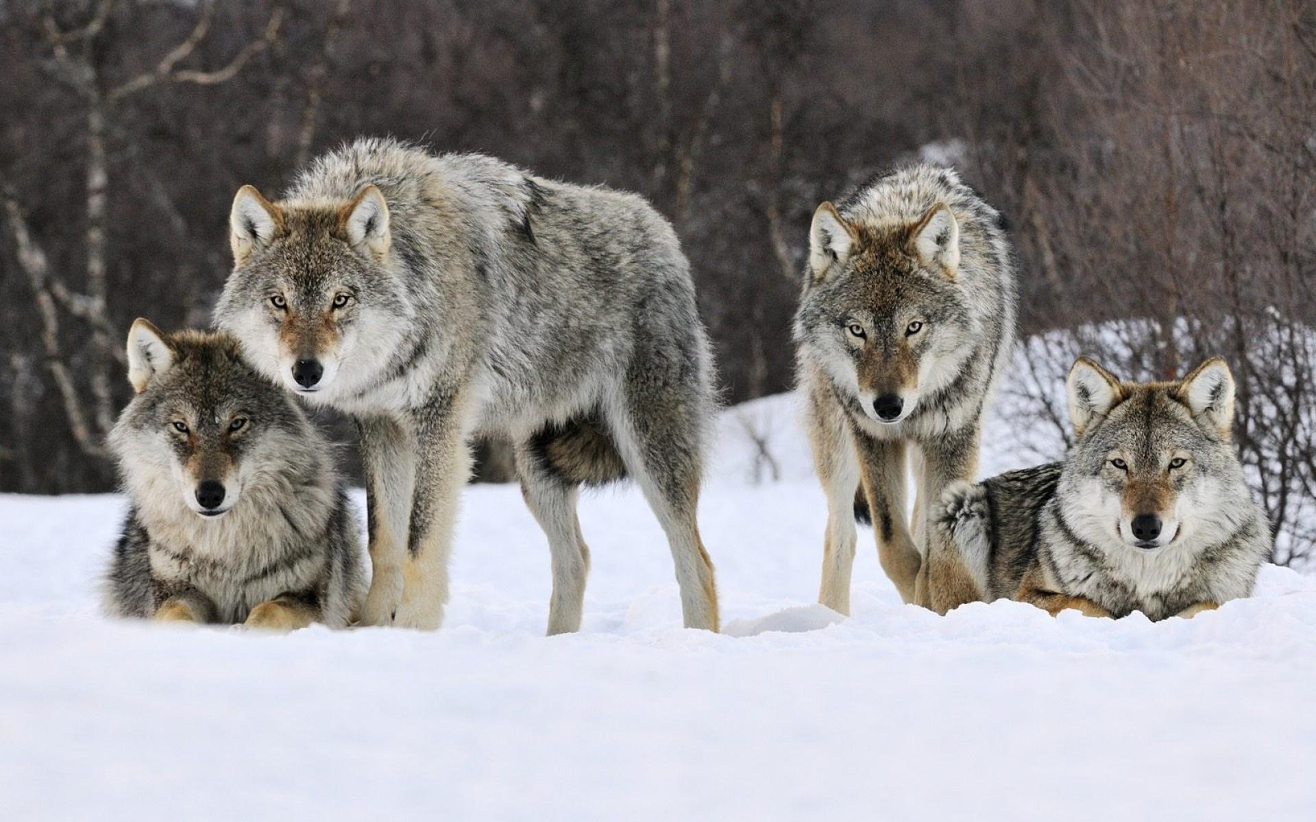 36434 baixar papel de parede Animais, Lobos - protetores de tela e imagens gratuitamente