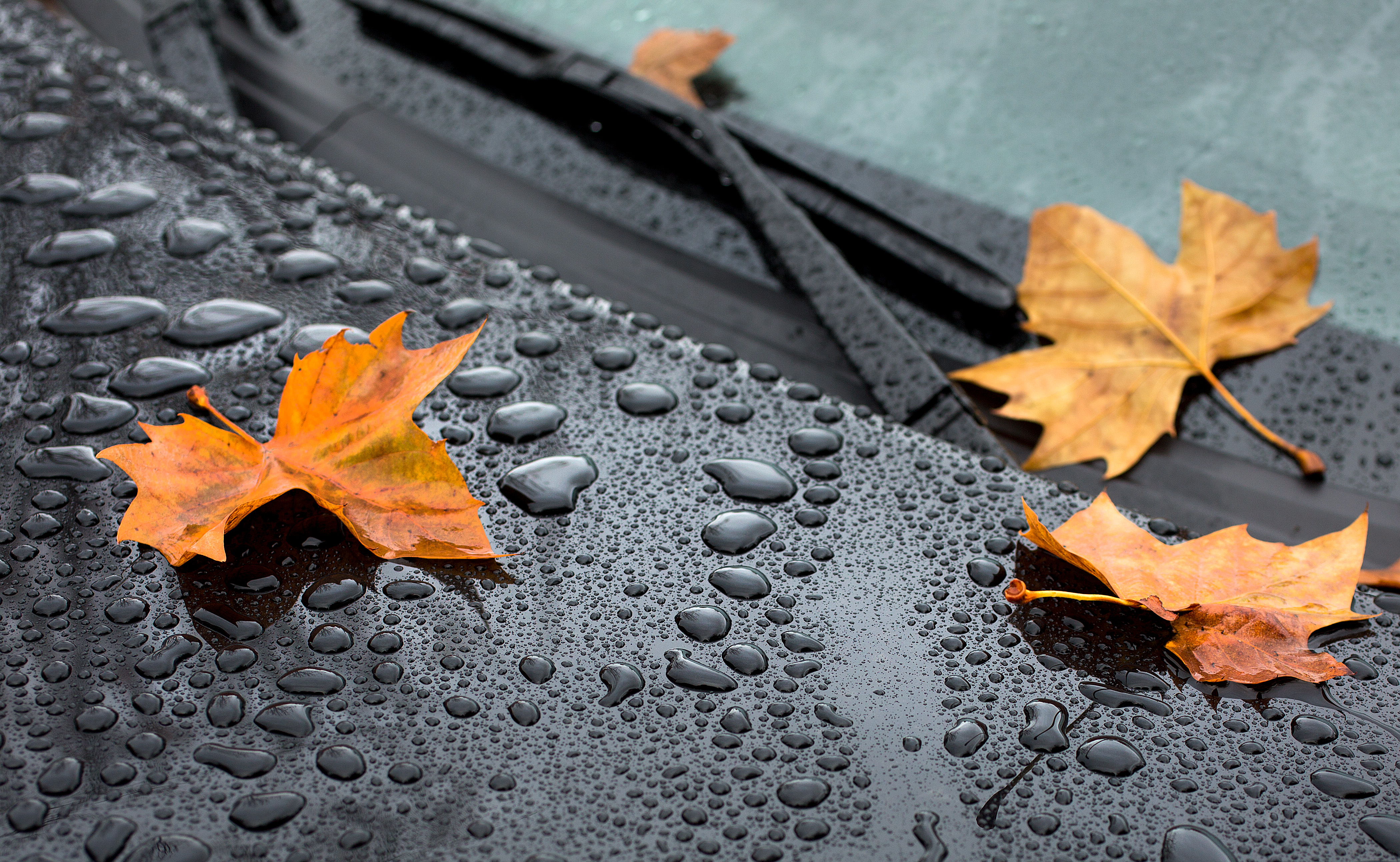156978 download wallpaper Macro, Sheet, Leaf, Maple, Drops, Hood, Rain, Autumn screensavers and pictures for free