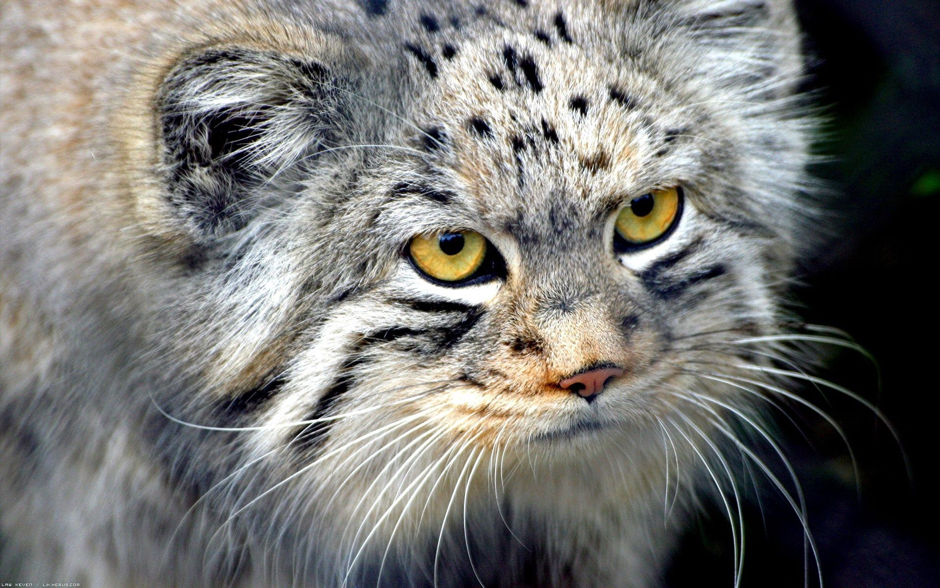 137033 Screensavers and Wallpapers Wool for phone. Download Animals, Muzzle, Pallas' Cat, Manul, Wool, Fur pictures for free