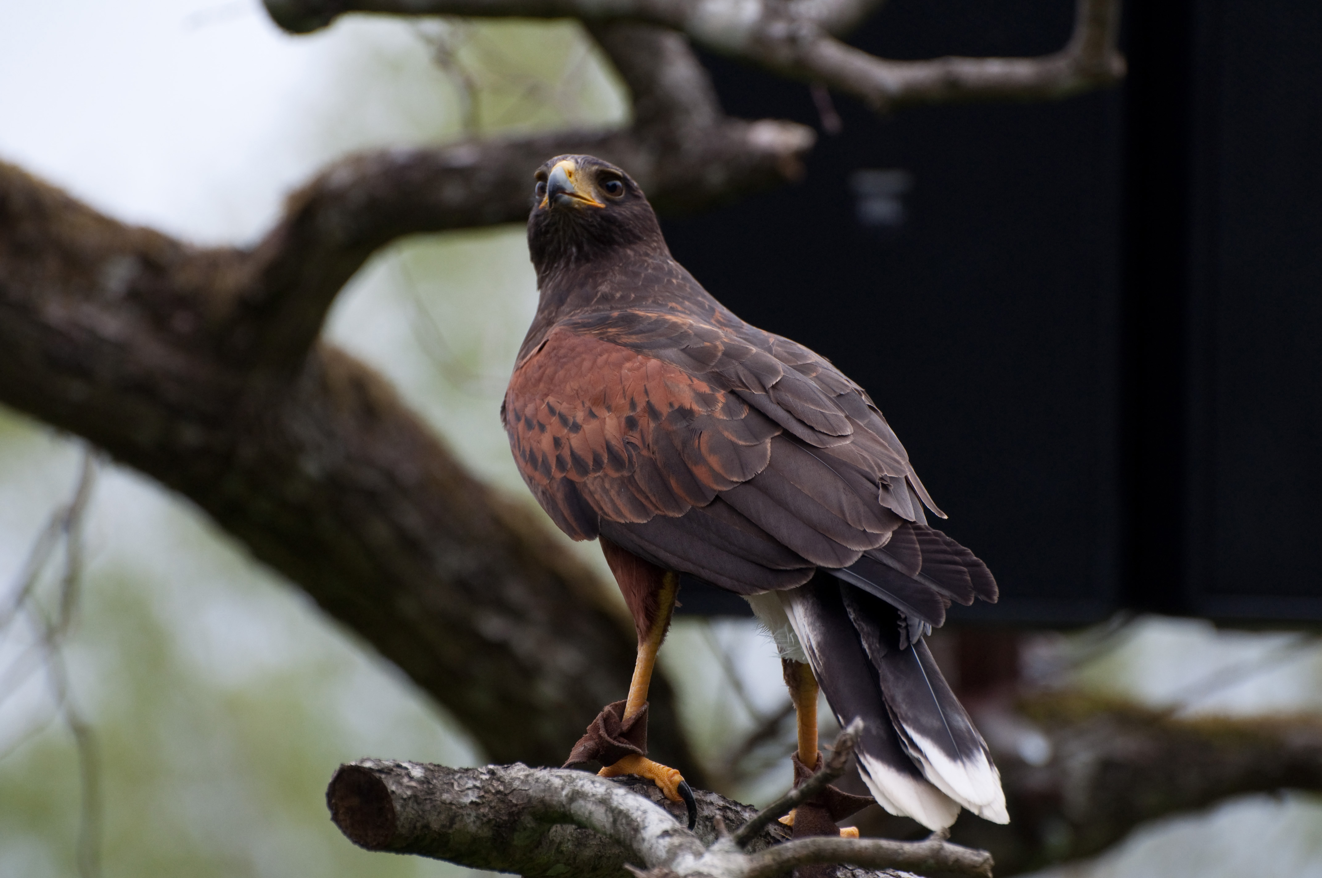 100875 download wallpaper Animals, Hawk, Bird, Predator, Brown, Wildlife screensavers and pictures for free