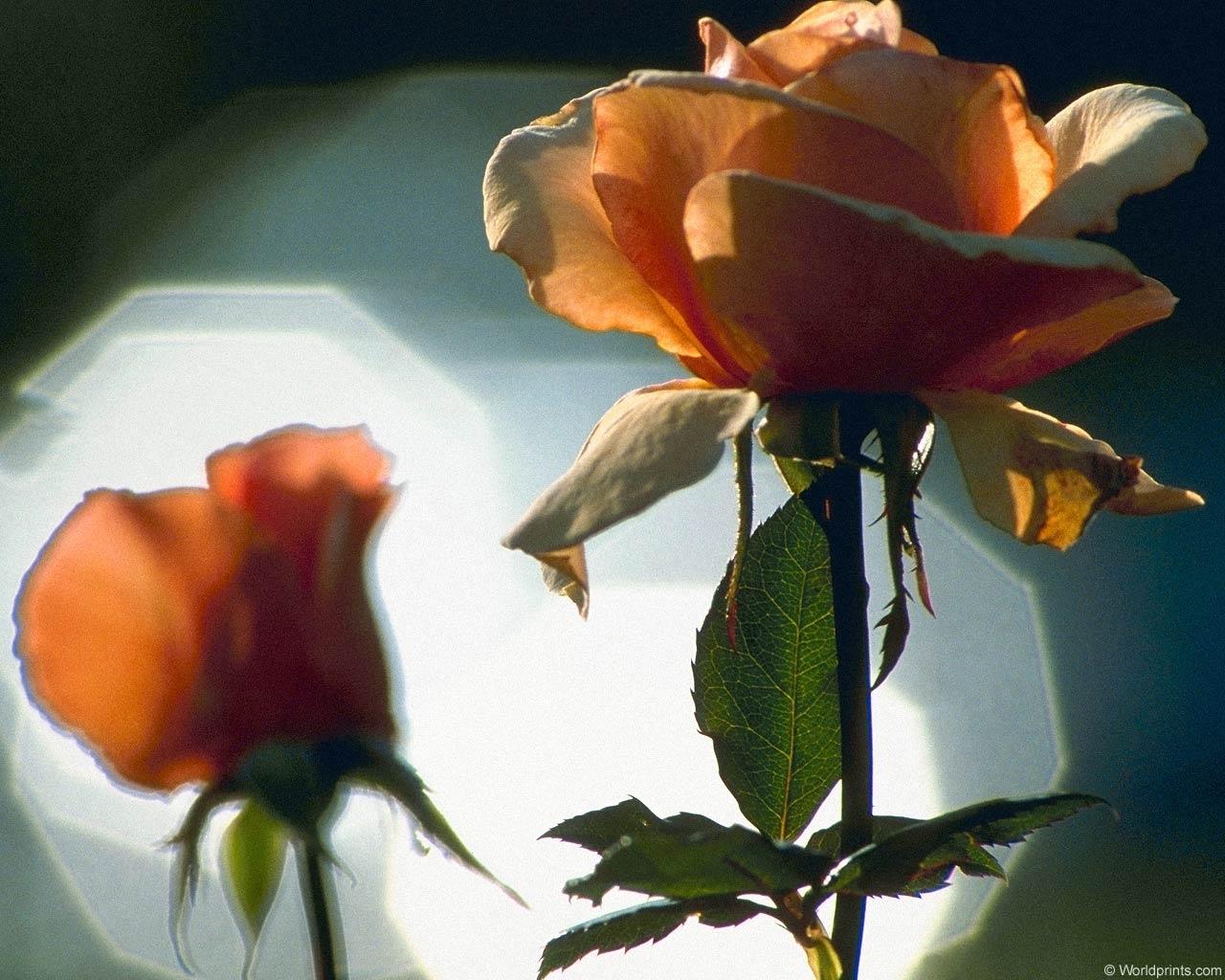 5562 скачать обои Растения, Цветы, Розы - заставки и картинки бесплатно