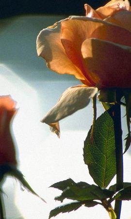 5562 télécharger le fond d'écran Plantes, Fleurs, Roses - économiseurs d'écran et images gratuitement