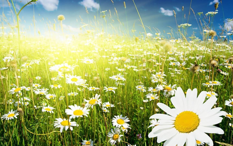 45884 скачать обои Поля, Растения, Цветы, Ромашки - заставки и картинки бесплатно