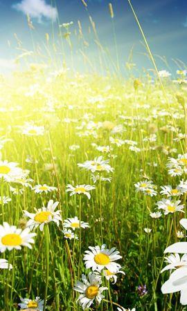 45884 télécharger le fond d'écran Plantes, Fleurs, Les Champs, Camomille - économiseurs d'écran et images gratuitement