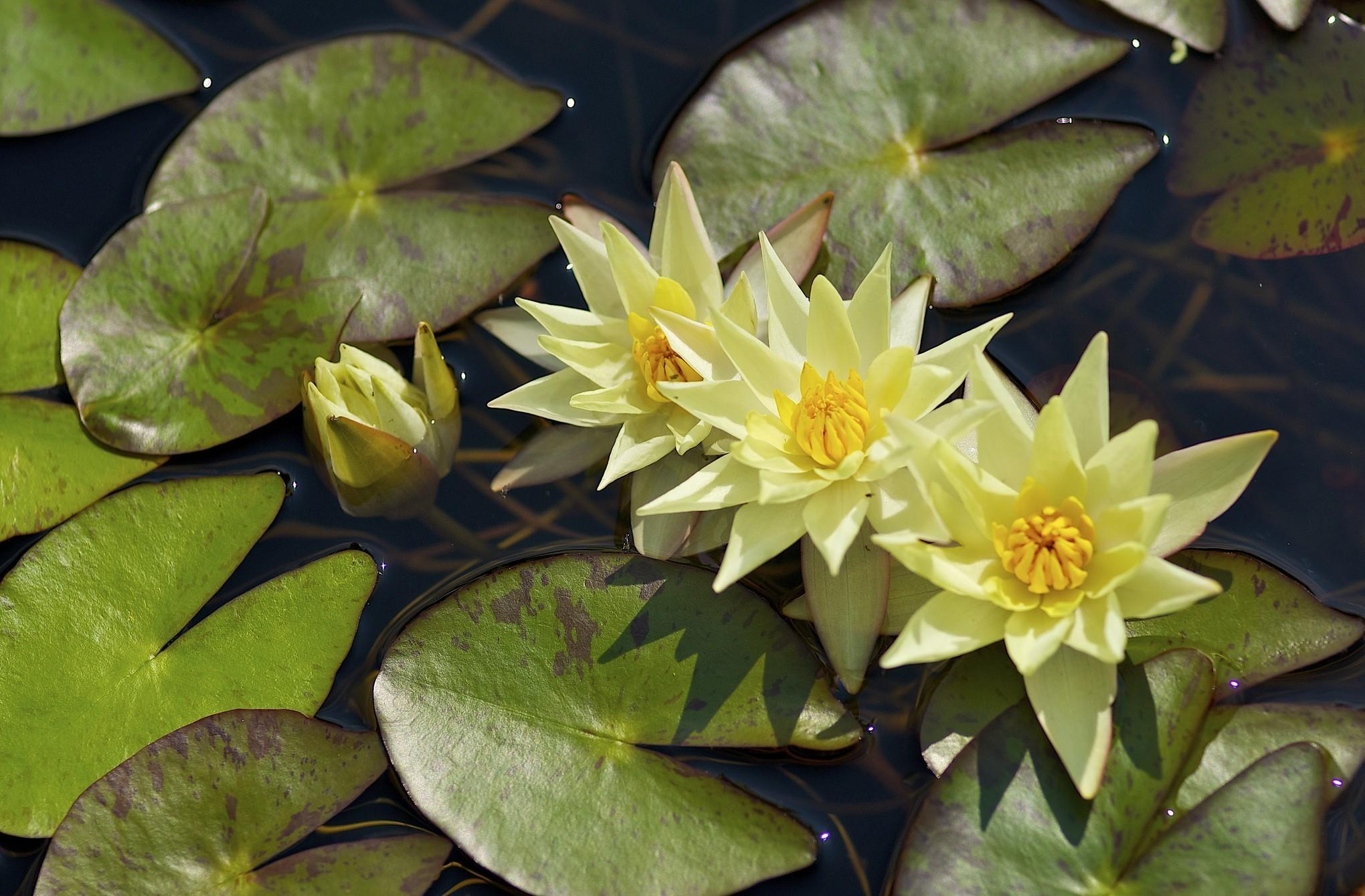 135051 скачать обои Цветы, Кувшинки, Три, Распущенные, Вода, Листья - заставки и картинки бесплатно