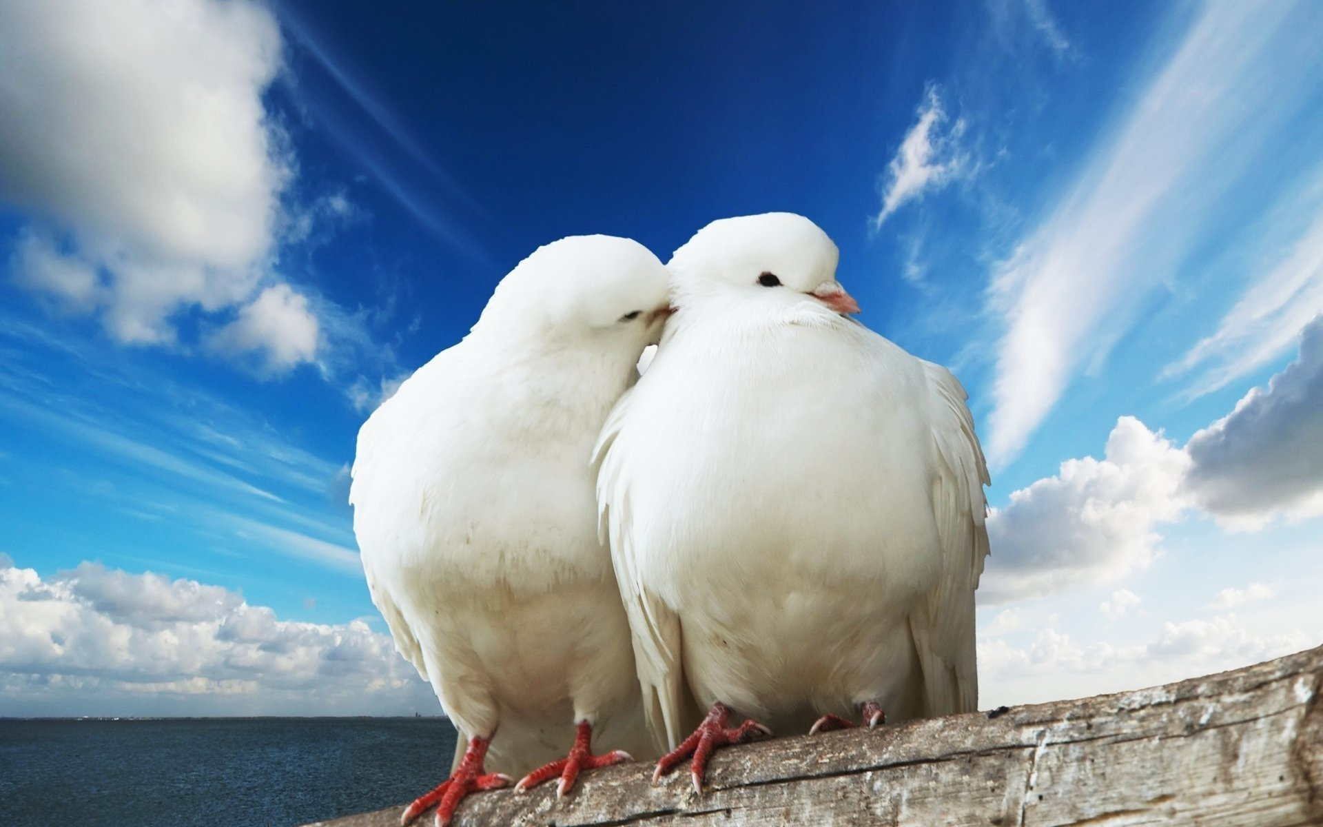 20919 download wallpaper Animals, Birds, Pigeons screensavers and pictures for free