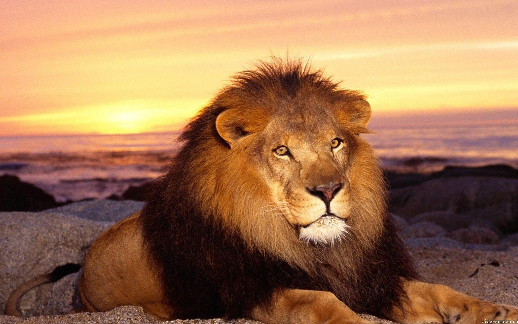 132 download wallpaper Animals, Cats, Sunset, Lions screensavers and pictures for free