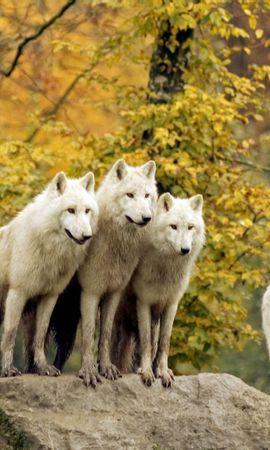 39104 baixar papel de parede Animais, Lobos - protetores de tela e imagens gratuitamente
