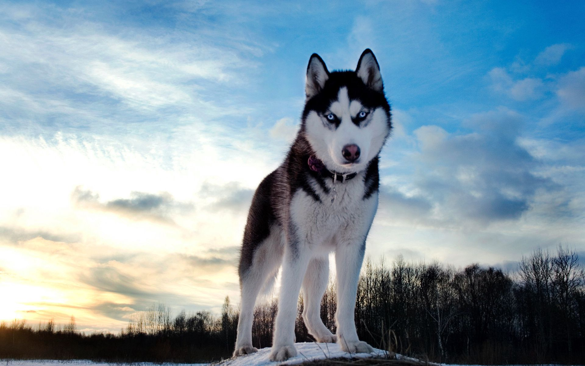 86721 download wallpaper Animals, Snow, Dog, Husky, Elevation screensavers and pictures for free