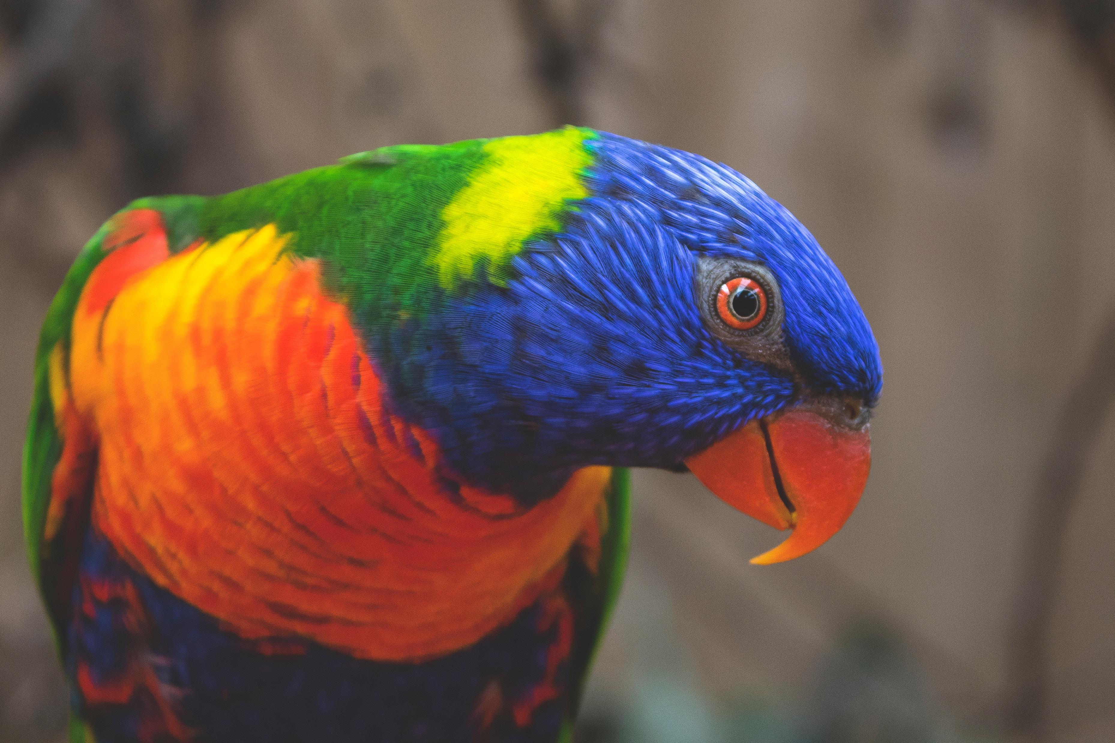 81162 скачать обои Животные, Многоцветный Лорикет, Попугаи, Птица, Разноцветный - заставки и картинки бесплатно