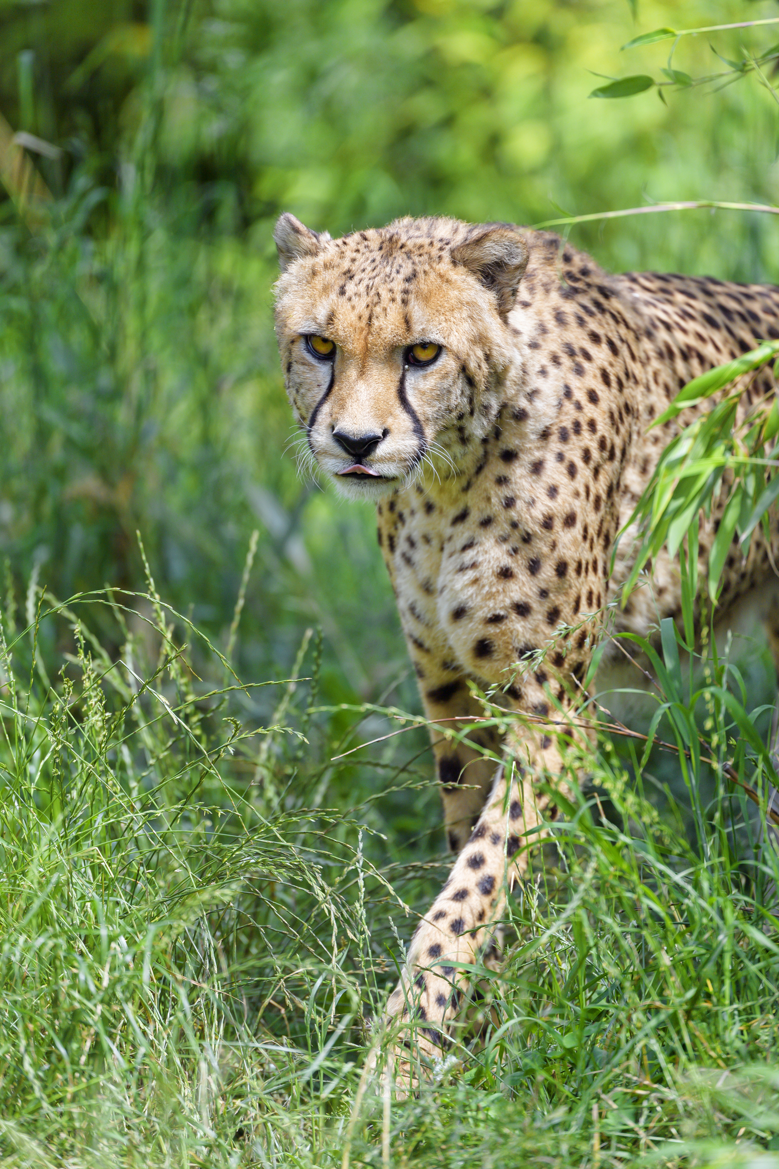 143987 download wallpaper Animals, Cheetah, Predator, Big Cat, Protruding Tongue, Tongue Stuck Out screensavers and pictures for free