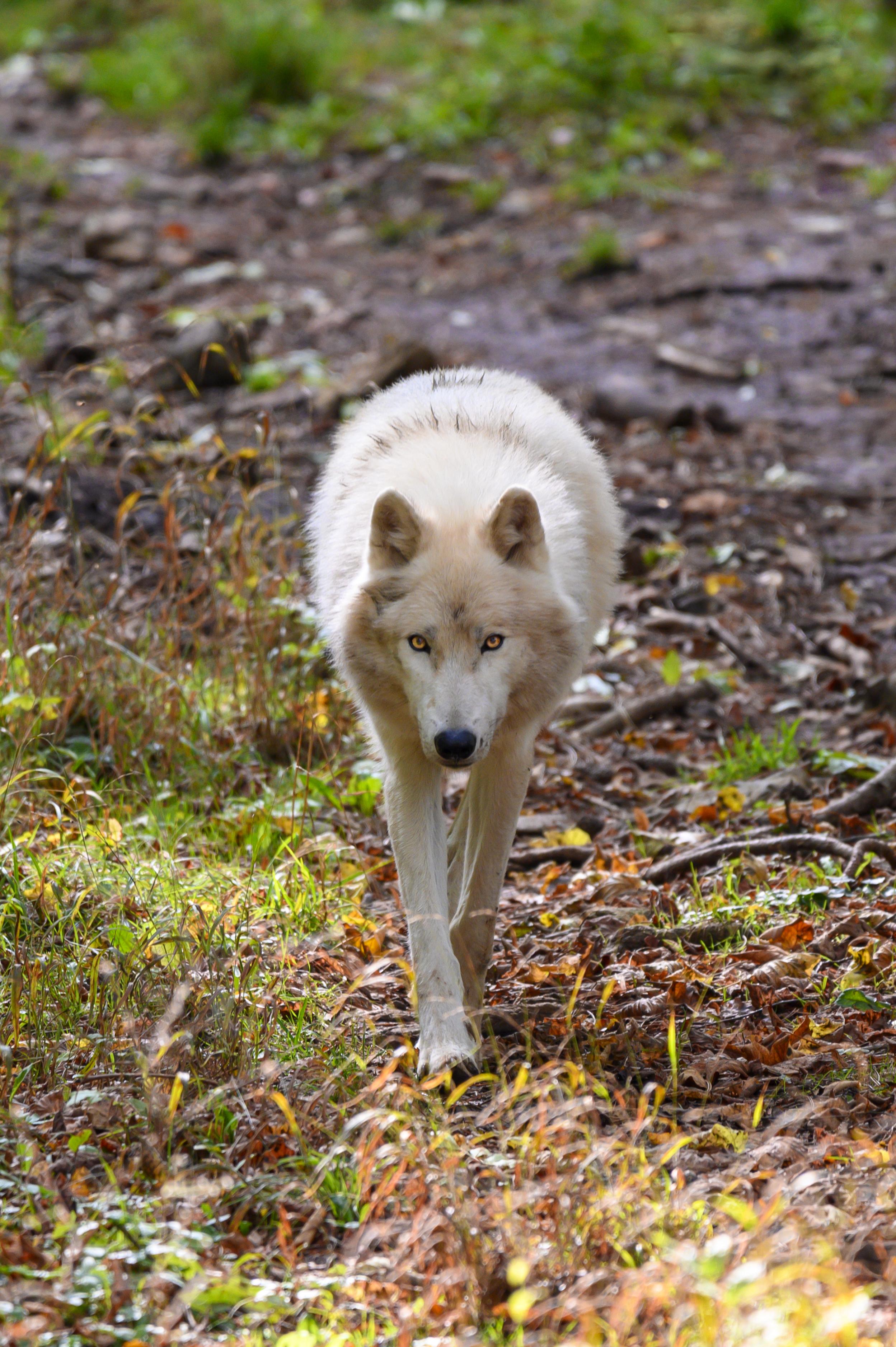 Kostenlose Wolf HD-Bilder herunterladen