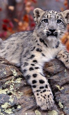10110 download wallpaper Animals, Snow Leopard screensavers and pictures for free